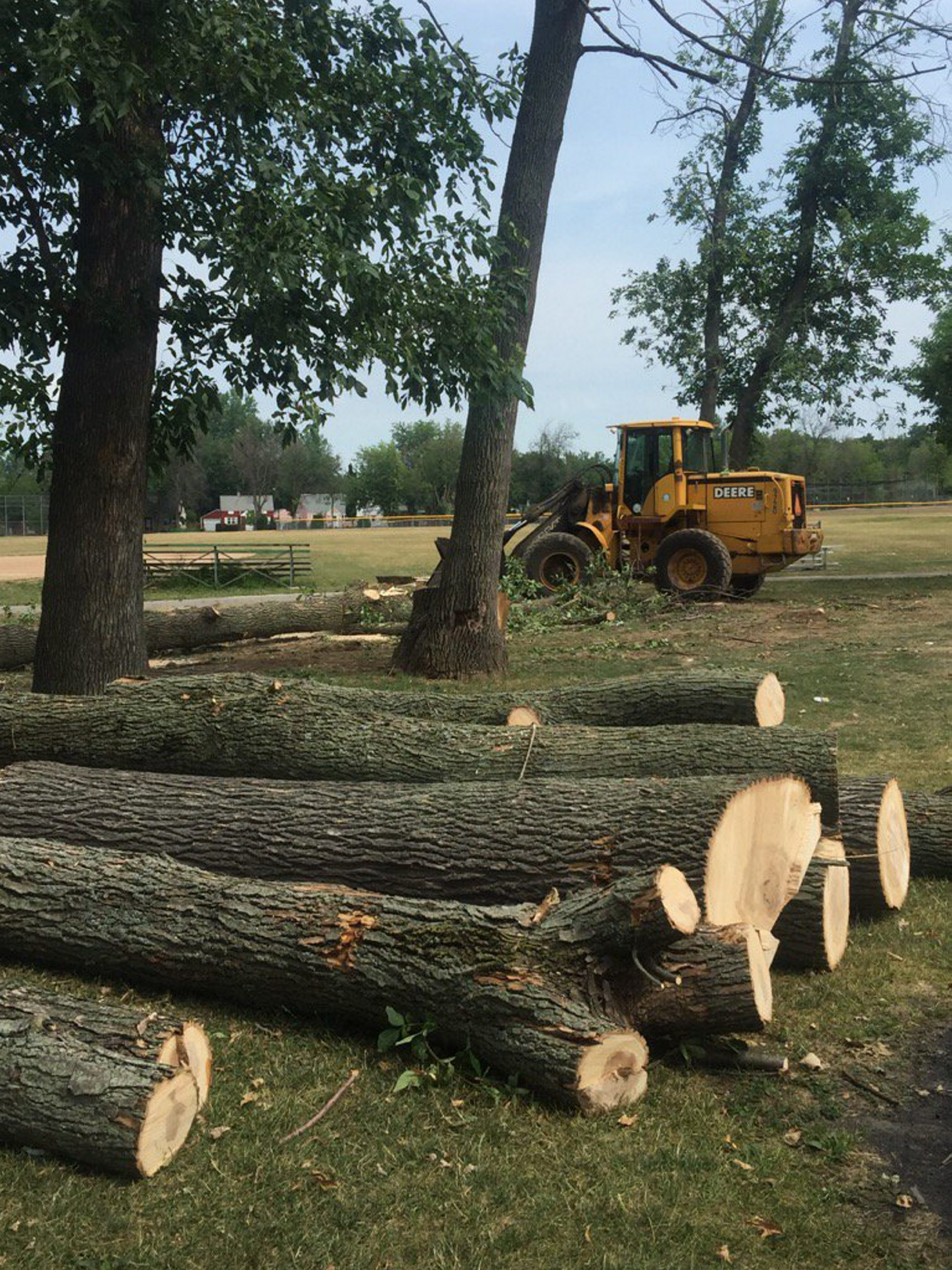 Trees in Shoshone Park infested by the Emerald Ash Borer are being cut down. (Jane Kwiatkowski Radlich/Buffalo News)