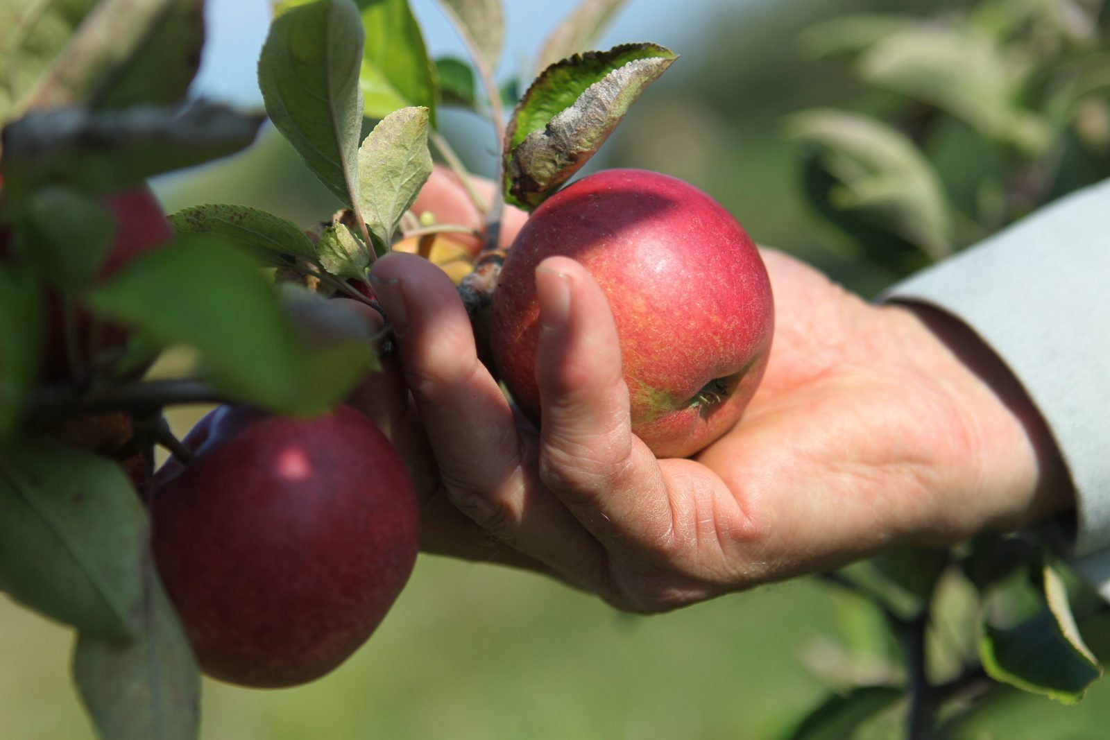 Apples will be sweeter this season due to the drought in Western New York. (Sharon Cantillon/Buffalo News)