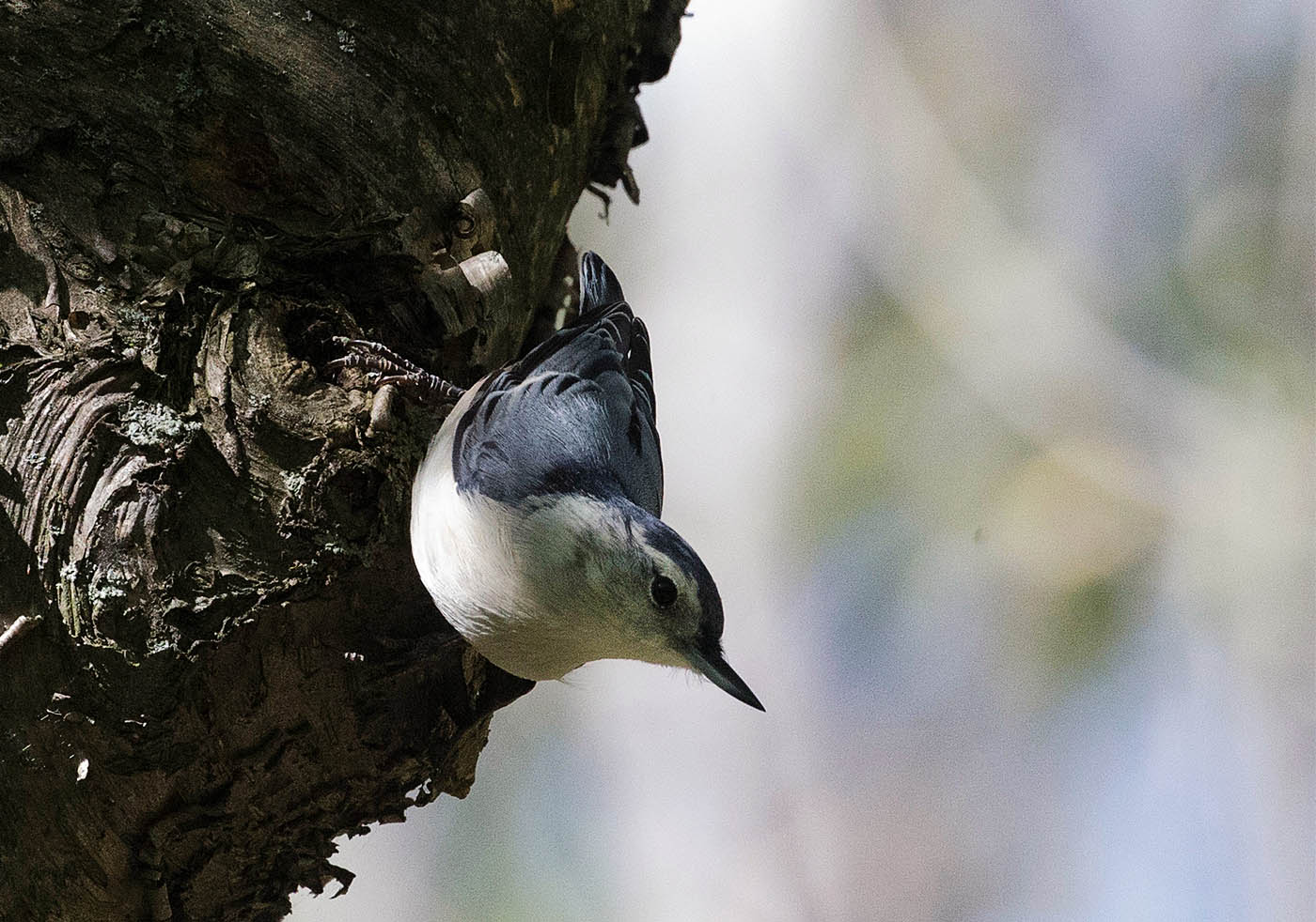 A White-breasted Nuthatch at Stiglmeier Park, in Cheektowaga , N.Y. on Wednesday Sept. 21, 2016.   (John Hickey/Buffalo News)