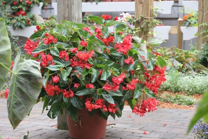 Dragon Wing Red, Angelwing Begonia (Begonia hybrid). Photo courtesy Proven Winners.