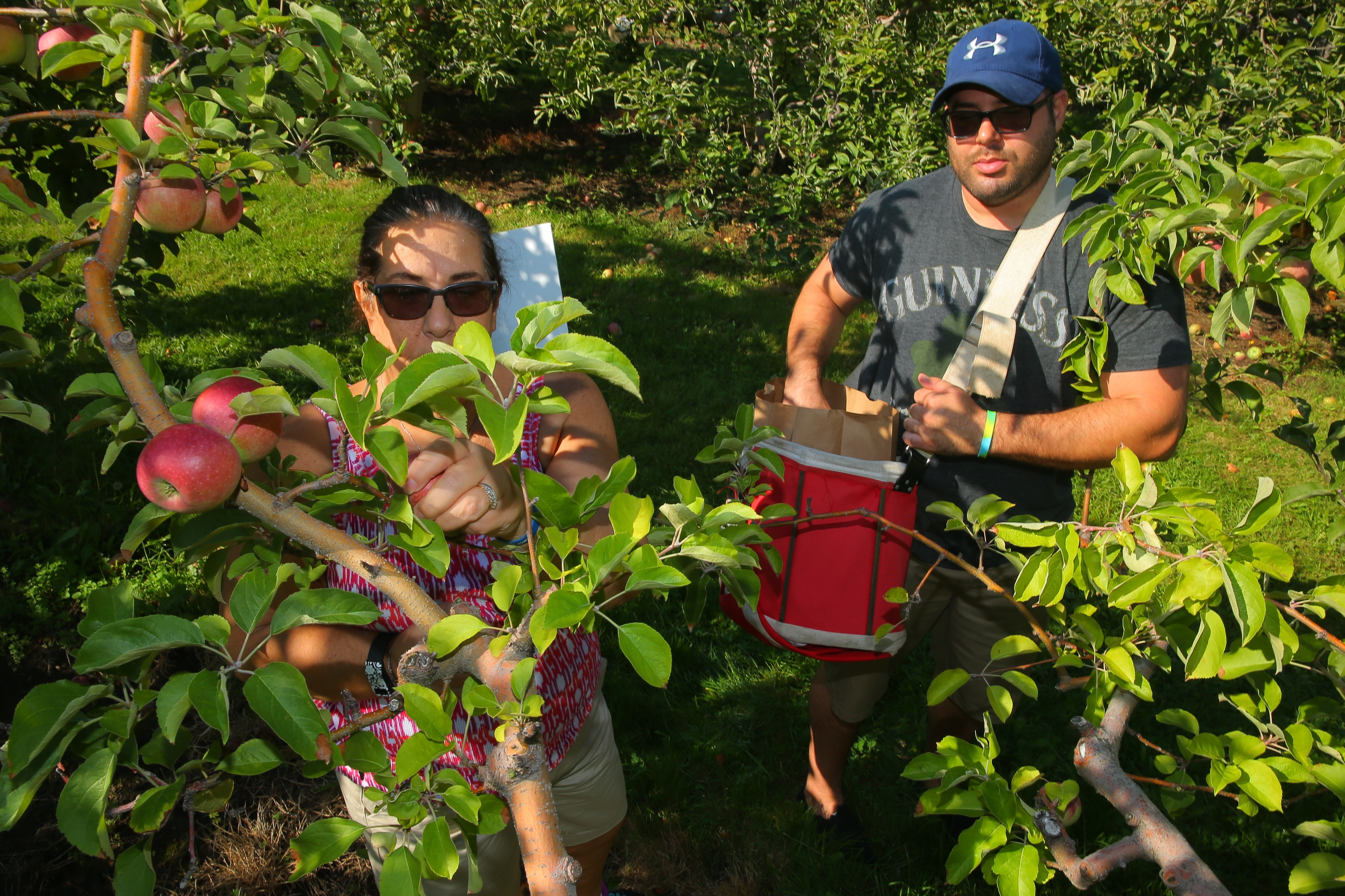 Donna Mang and her son, Jeff, of Kenmore, pick apples at Blackman Homestead Farms in Lockport last week. As a result of the drought, this year's apples are smaller, but sweeter, Niagara County growers say.