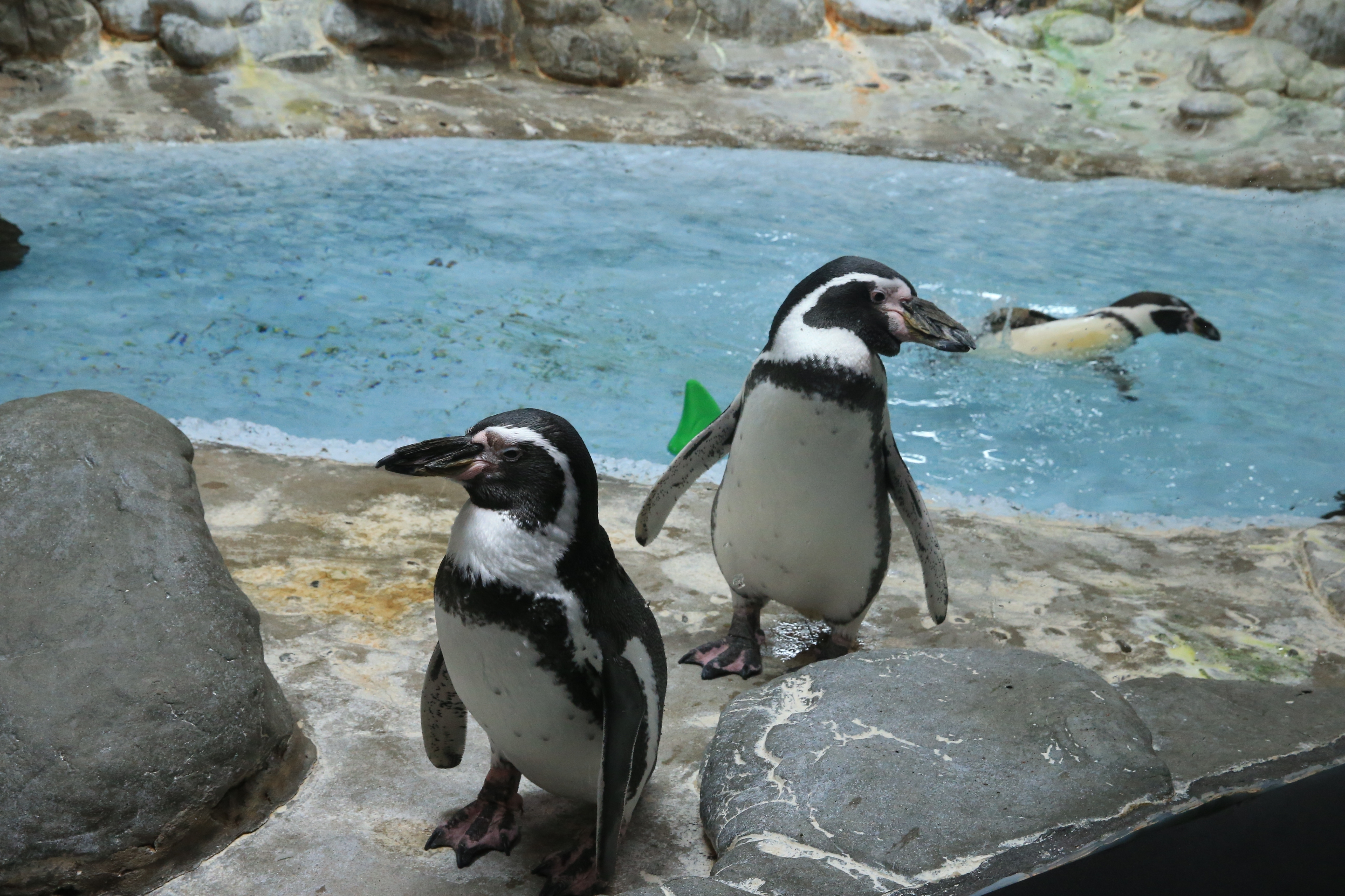 Humboldt Penguin Exihibit at the Aquarium of Niagara in Niagara Falls, N.Y. on Wednesday Sept. 28, 2016, where they are raising money for a new exhibit and classroom that will be 4 times the size of current exhibit.   (John Hickey/Buffalo News)