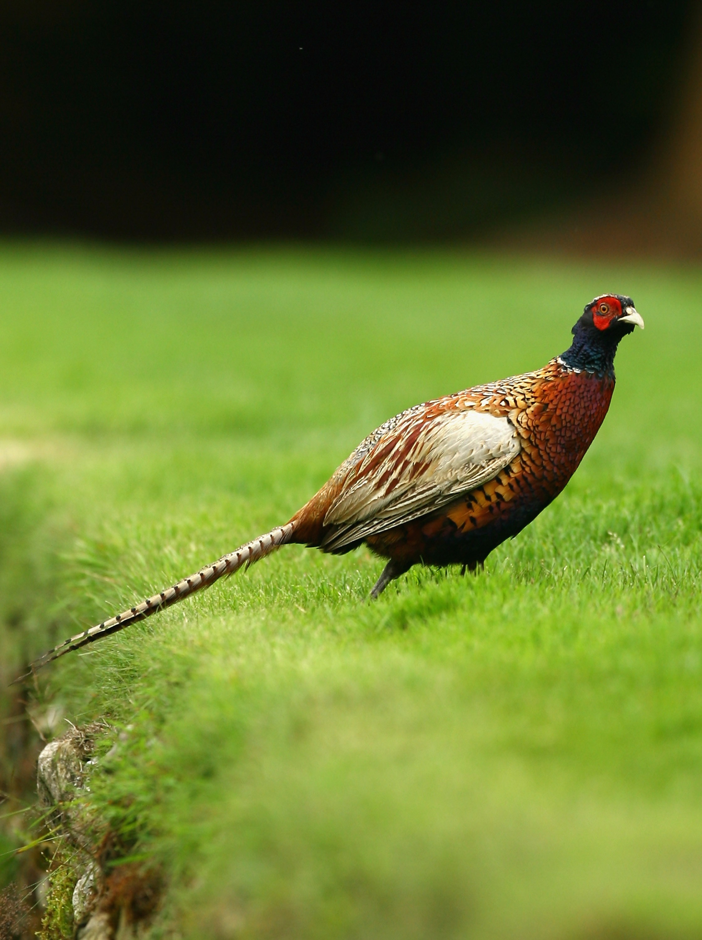 LUSS, UNITED KINGDOM - JULY 13:  A pheasant has an afternoon stroll during the second round of The Barclays Scottish Open at Loch Lomond Golf Club on July 13, 2007 in Luss, Scotland. (Photo by Ian Walton/Getty Images)
