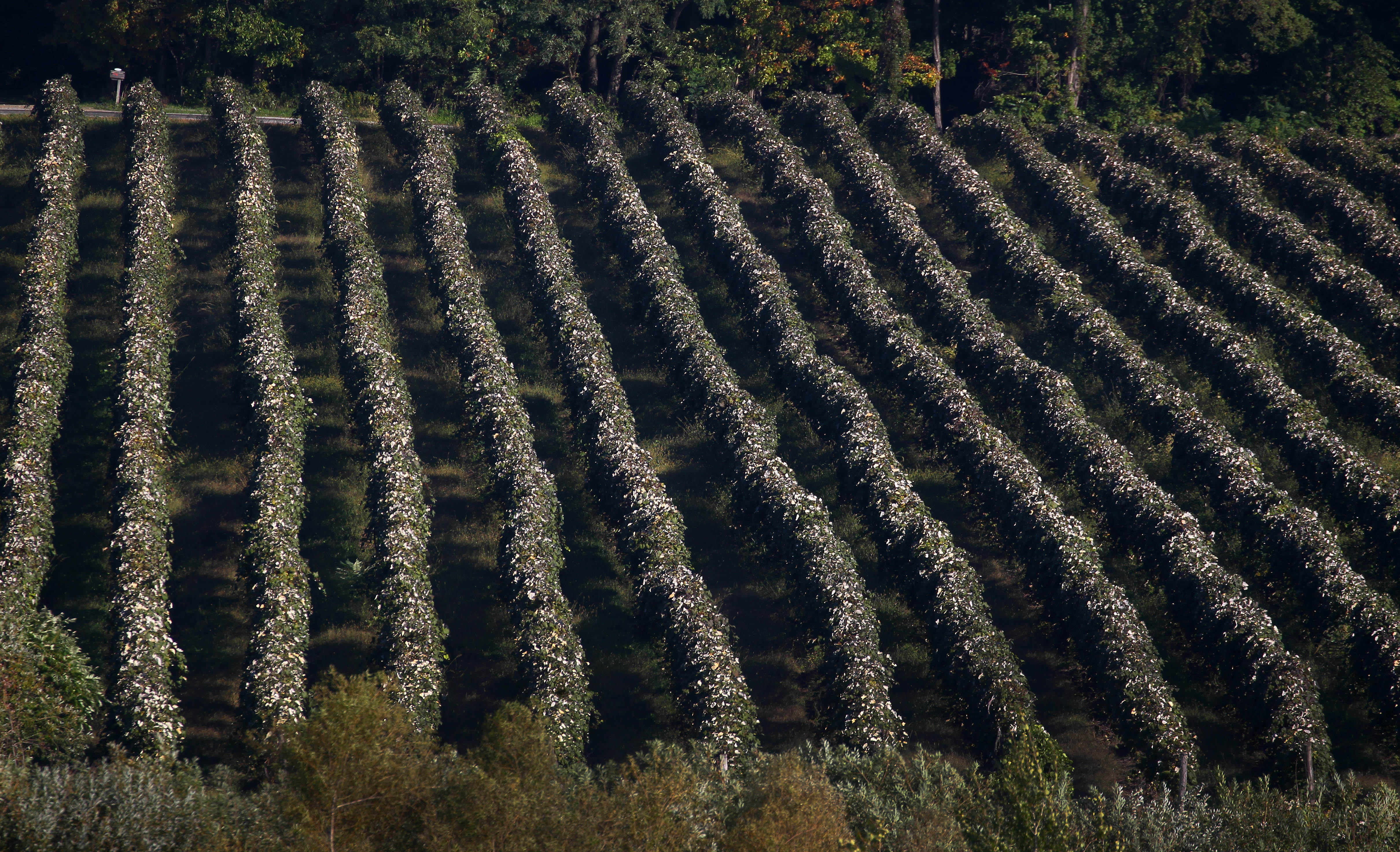 Row of concord grapes wait to be harvested off of Rte 20 in Westfield Tuesday, October 4, 2016. (Mark Mulville/The Buffalo News)