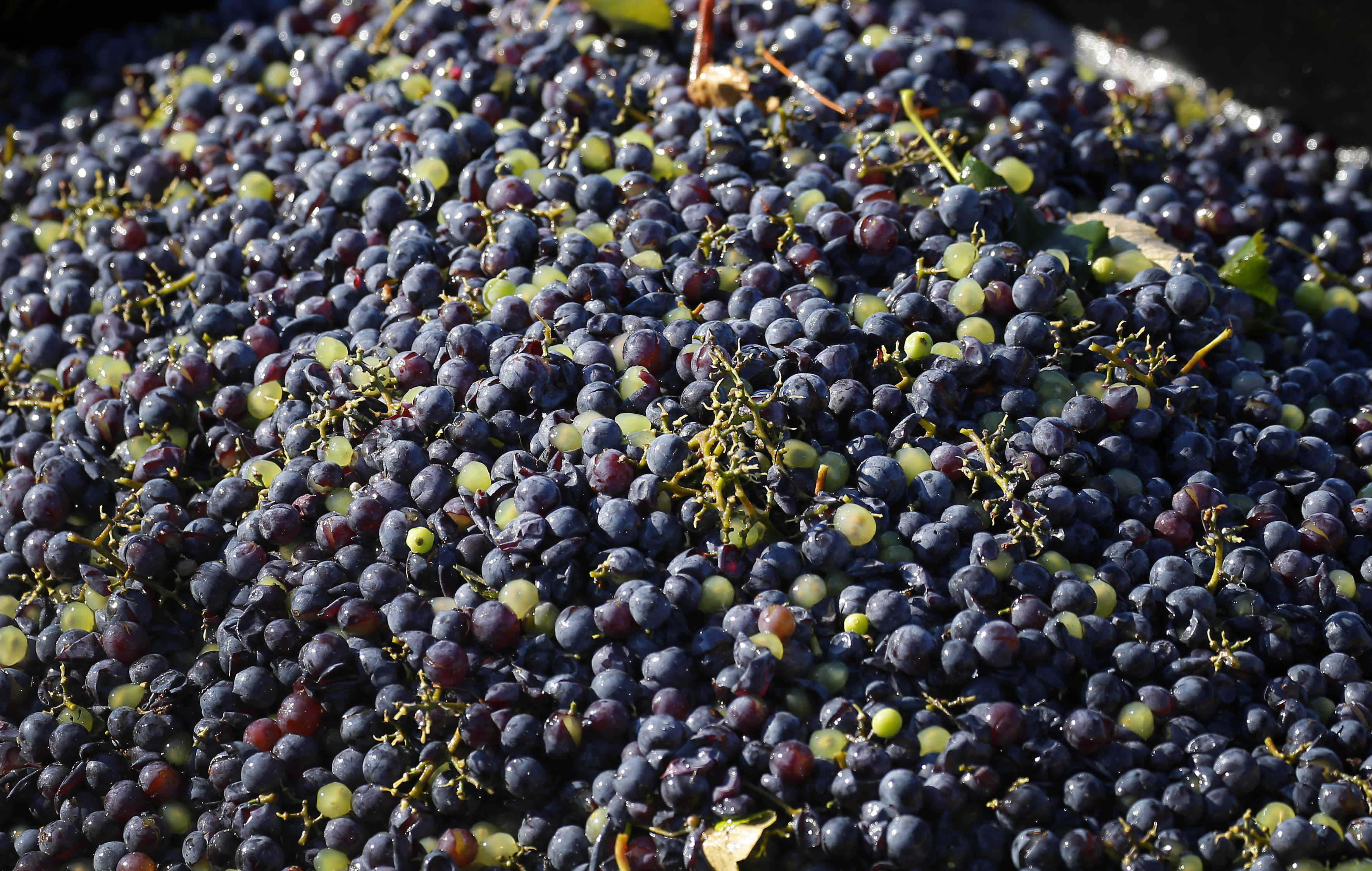 A bin of freshly harvested Concord grapes at Knight Vineyards in Ripley Tuesday, Oct. 4, 2016. One bin holds about a ton of grapes. (Mark Mulville/Buffalo News)