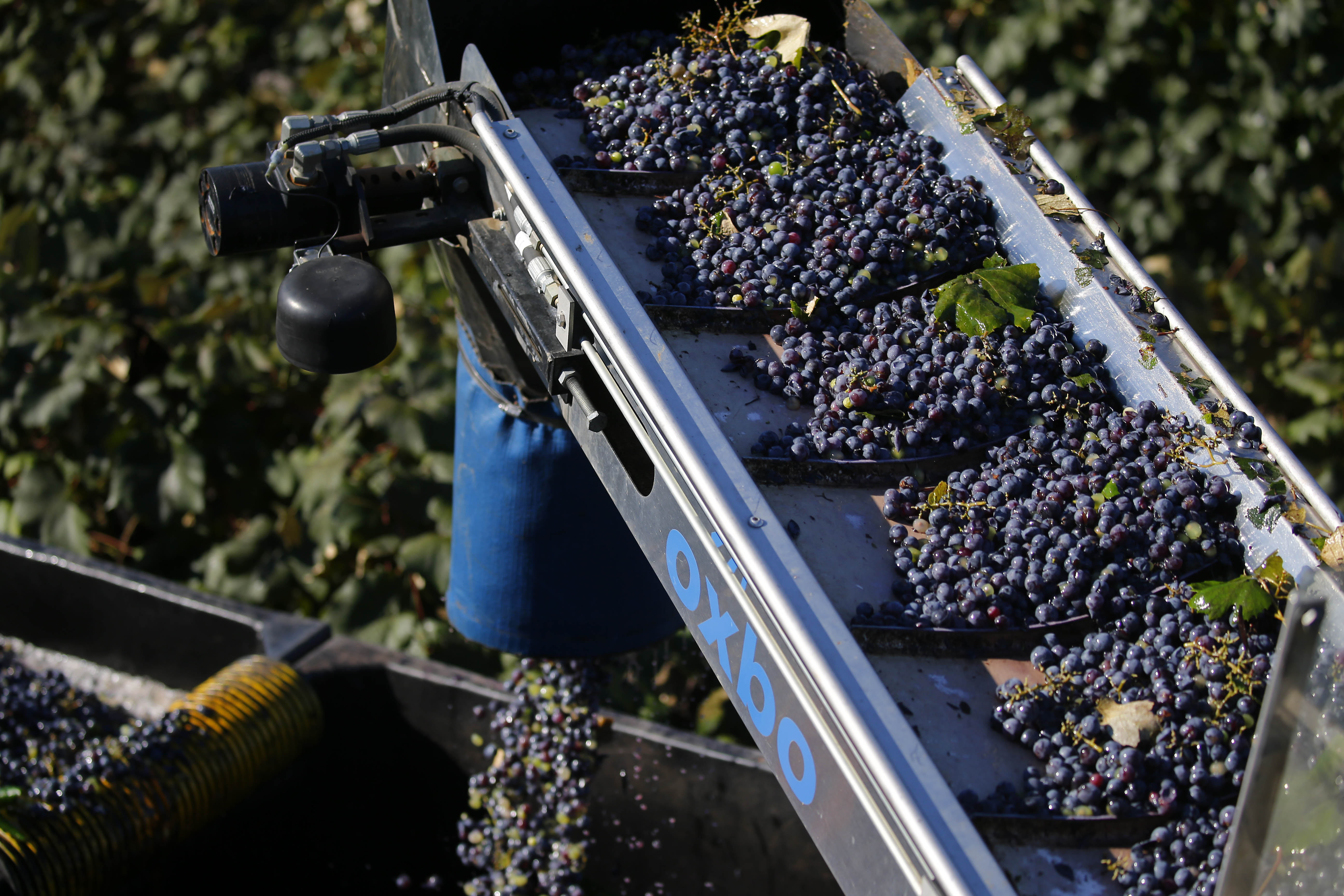 Concord grapes raise to pour into a collection bin from a grape harvester at Knight Vineyards in Ripley Tuesday, October 4, 2016. (Mark Mulville/The Buffalo News)