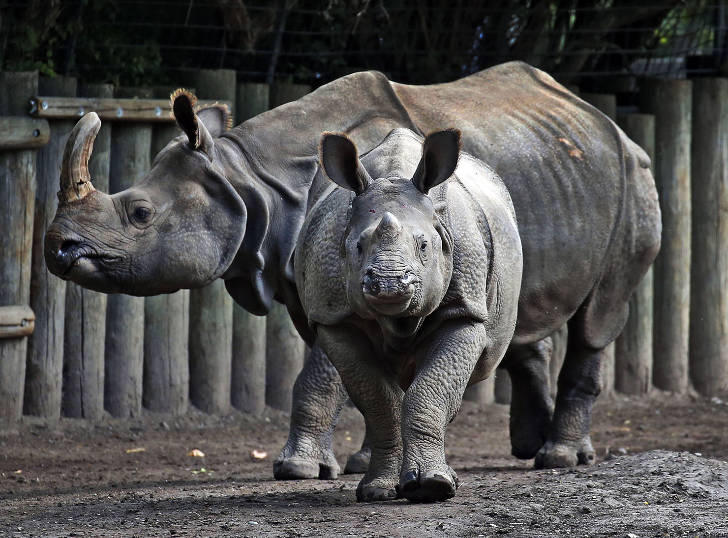 This is Monica, looking straight on in front, with her mom Tashi. Monica was born at the Buffalo Zoo to mother Tashi on June 5, 2014. At the time Monica was considered a miracle of science, the result of artificial insemination (AI.) She was the first offspring for a male rhino who never contributed to the genetics of the Indian rhino population during his lifetime. Monica's father, Jimmy, died at the Cincinnati Zoo in 2004, nearly a full decade before the AI procedure took place, using his frozen DNA. Monica is currently the only surviving Indian rhino from AI.Monica will be moving to the San Diego Zoo Safari Park which houses the largest Indian rhinos group in captivity.  This was on  Thursday, Oct. 13, 2016.  (Robert Kirkham/Buffalo News)