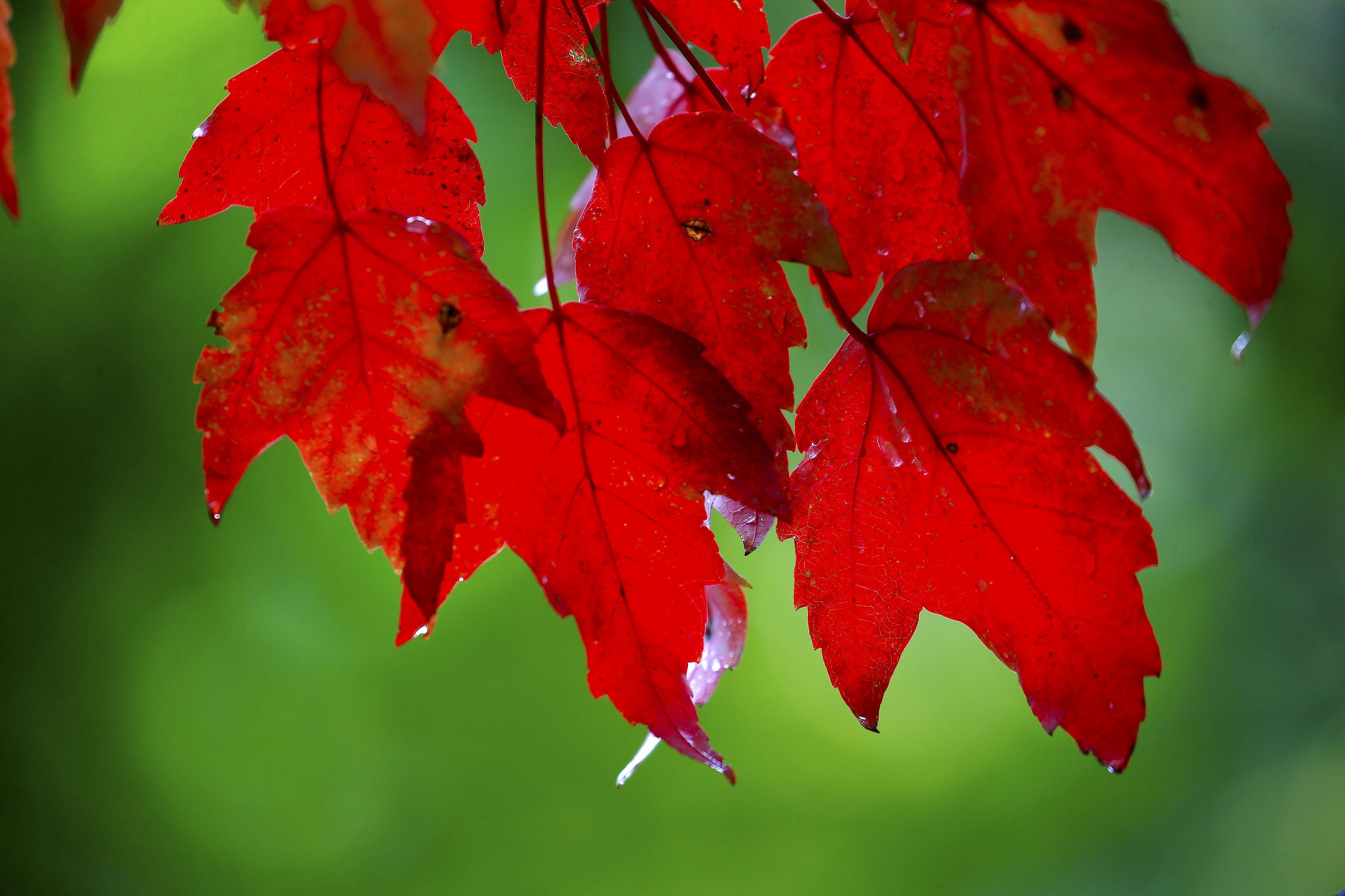 Leaves will reach peak conditions across many areas of Western New York. (Robert Kirkham/Buffalo News)