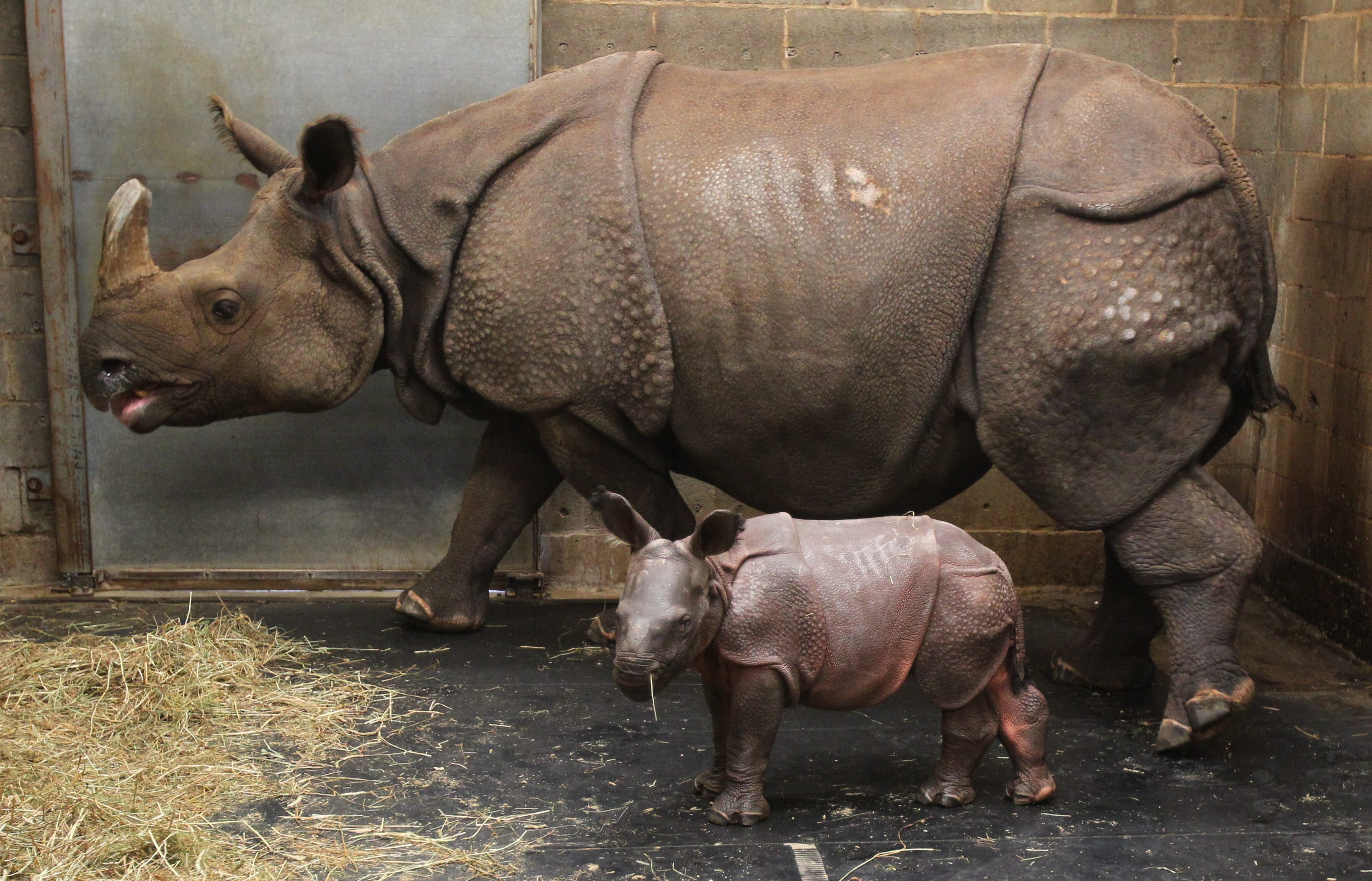 Monica, and her mother, Tashi, one week after the baby rhino was born. (Mark Mulville/Buffalo News file photo)
