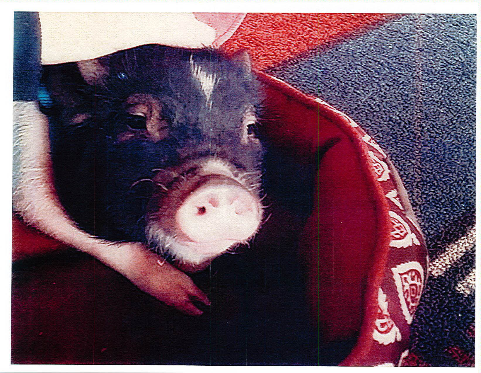 Ham Solo, a 44-pound pig, is the pet of an Amherst family.