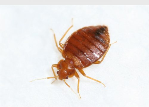 Bedbugs are on the rise across the U.S., according to pest exterminators.  (PRNewsFoto/Terminix)