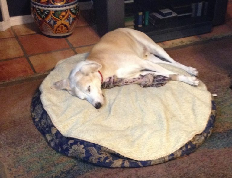 Buster, a Whippet hound, slept through much of Hurricane Matthew. (Cathleen Siegel)