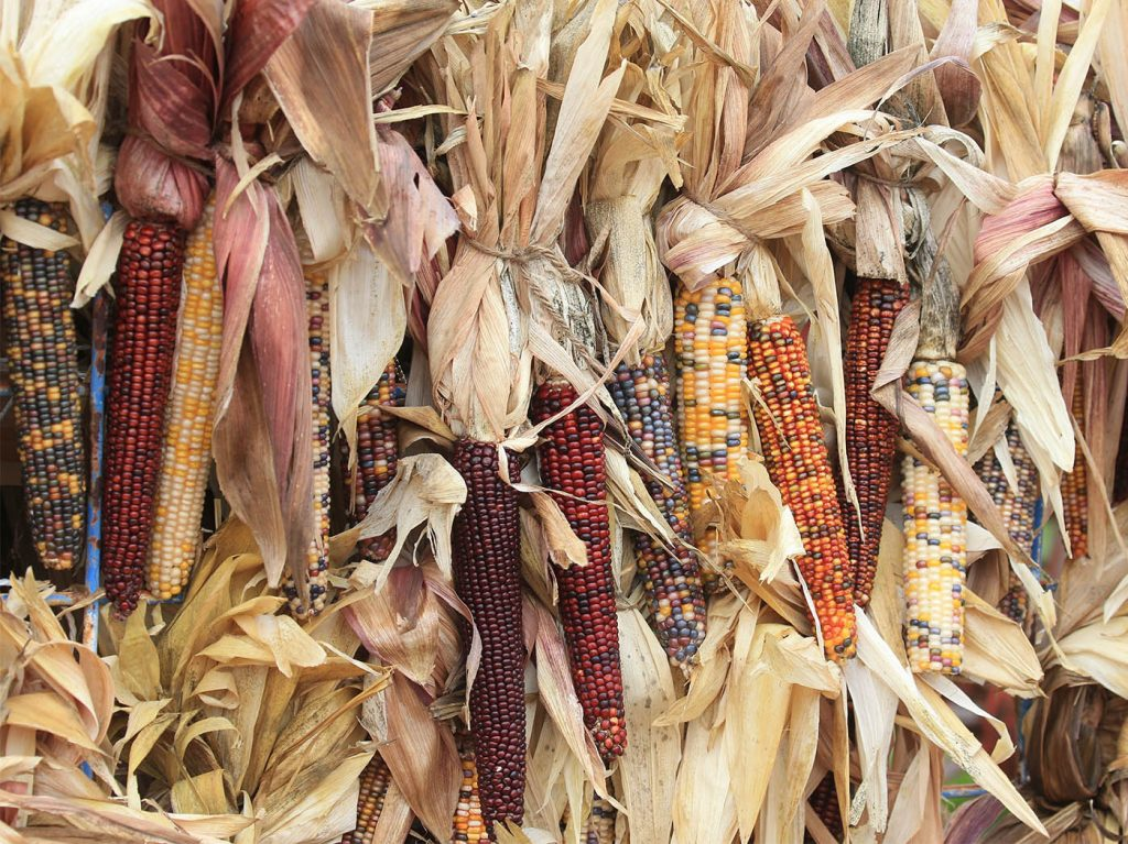 A sign of fall - Indian Corn hanging at The Great Pumpkin Farm in Clarence. (John Hickey/Buffalo News)