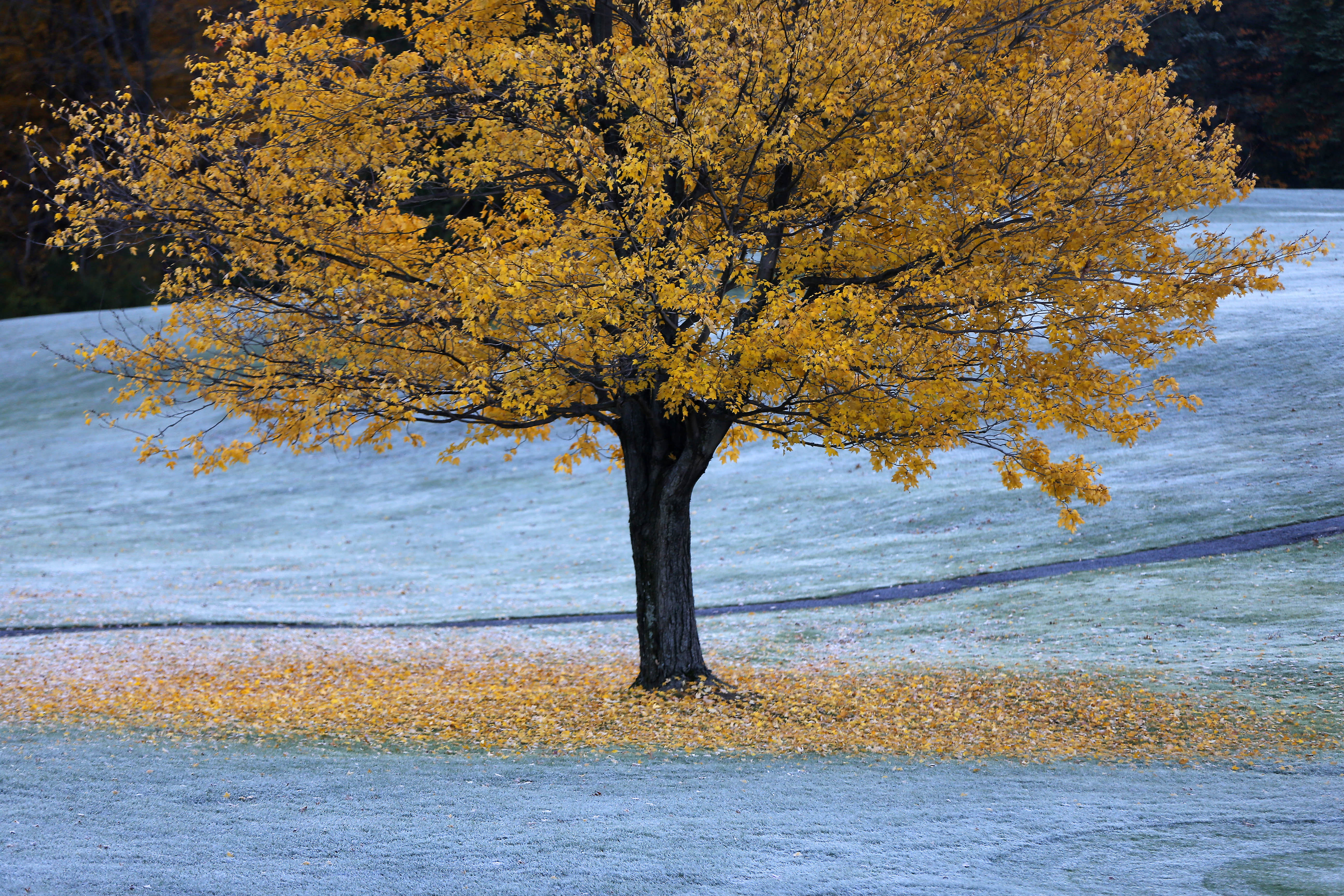 Frost covers the leaves and grass around a tree at the Orchard Park Country Club in Orchard Park early Monday morning.   (Mark Mulville/Buffalo News)
