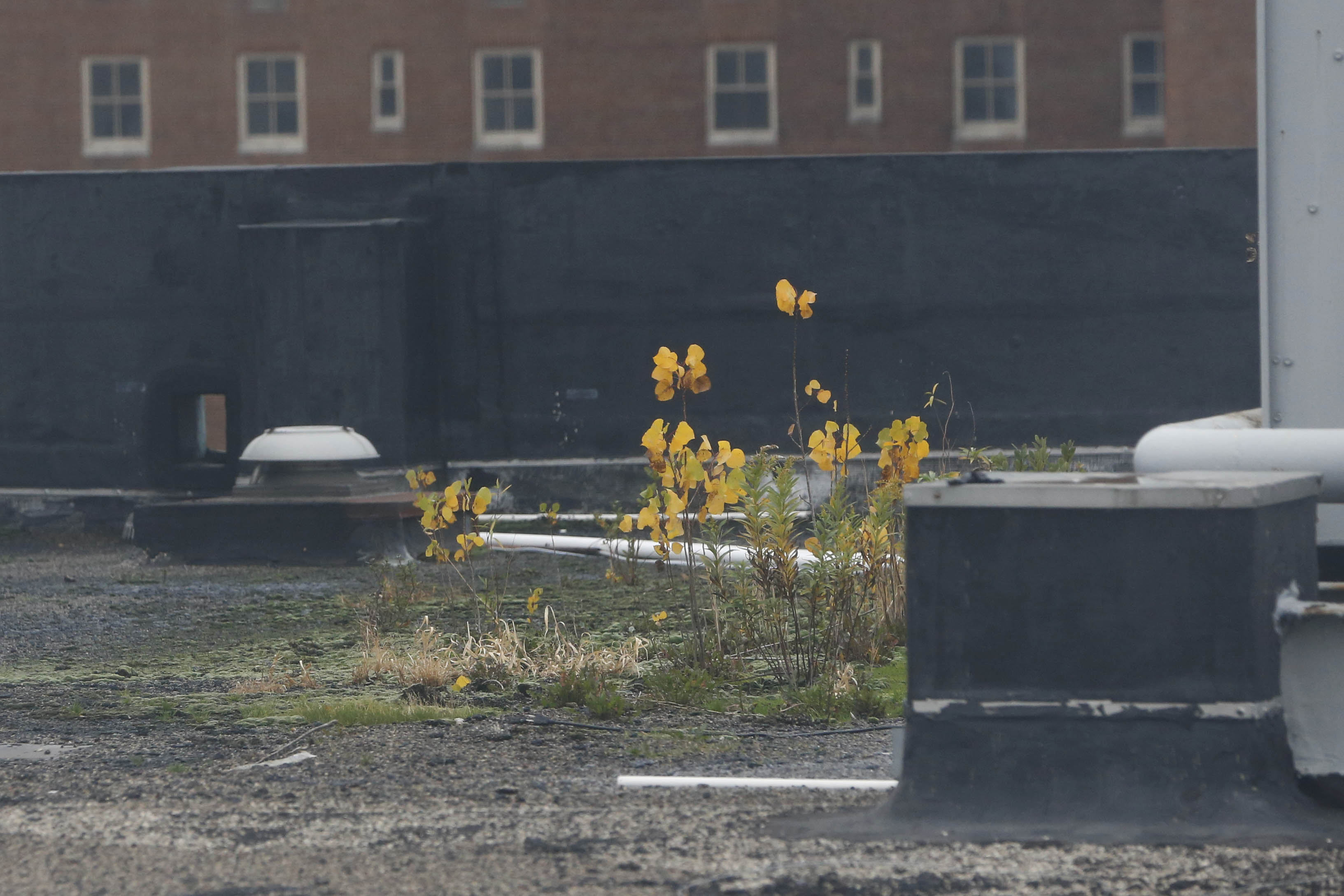 Plants growing on the roof of the Erie County Department of Social Services office on Main Street, Wednesday, Nov. 9, 2016. (Derek Gee/Buffalo News)