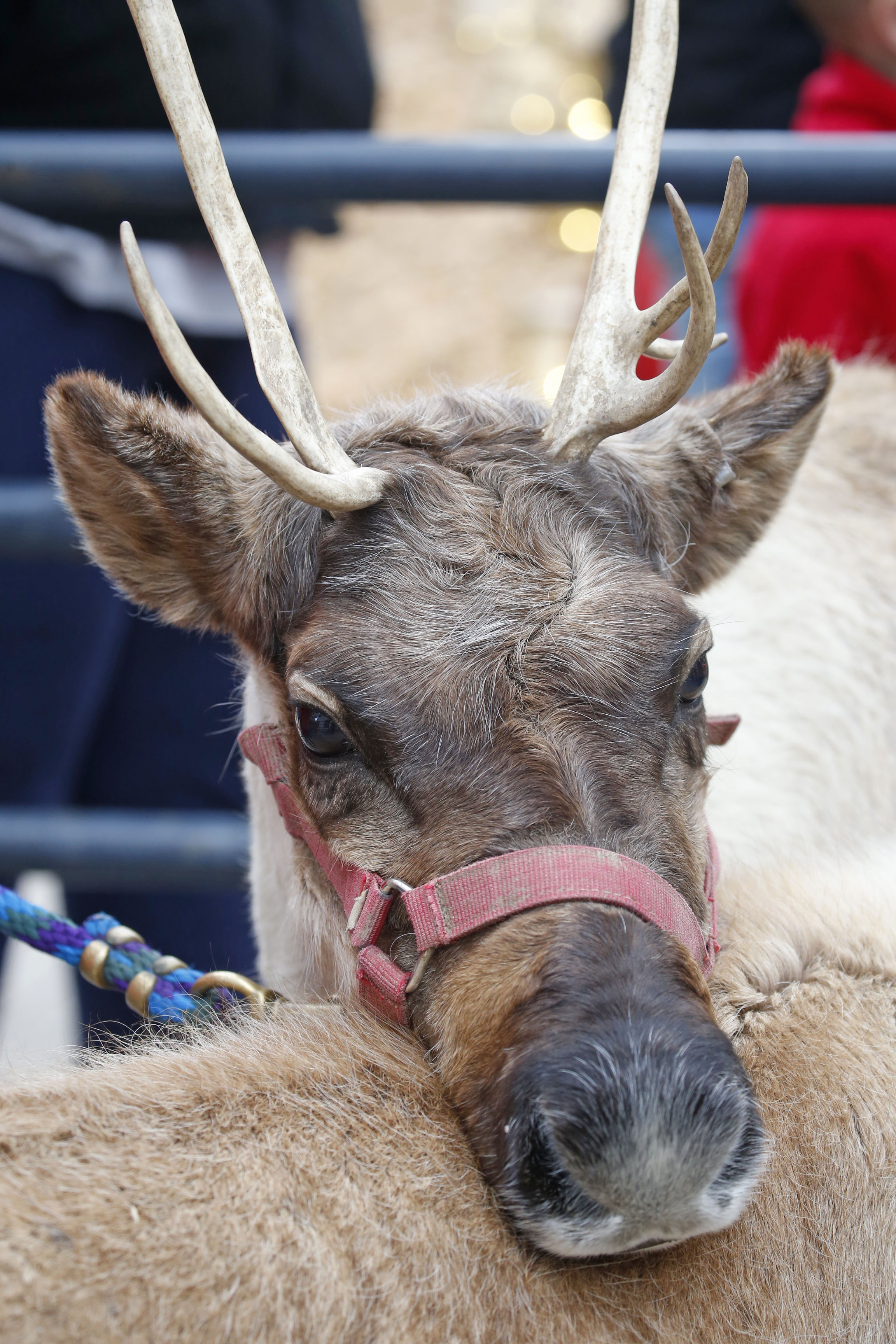 Reindeer were part of the holiday kick-off on Old Falls St. in Niagara Falls, N.Y., on Saturday, Nov. 19, 2016.  (Robert Kirkham/Buffalo News)