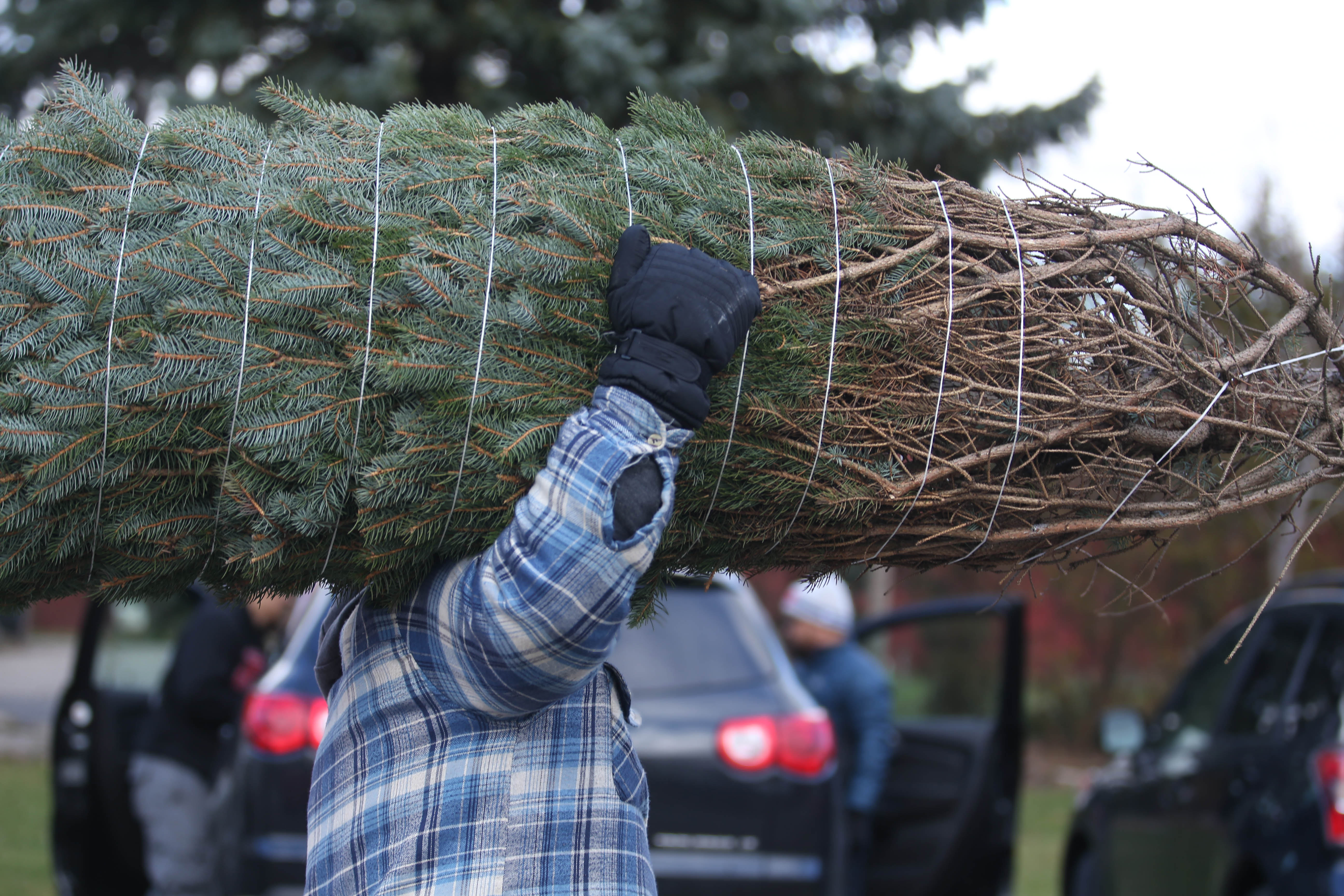 Jurek Plantations at 6600 Strickler Road  in Clarence is a popular place to go to cut down your own Christmas tree.    (Sharon Cantillon/Buffalo News)
