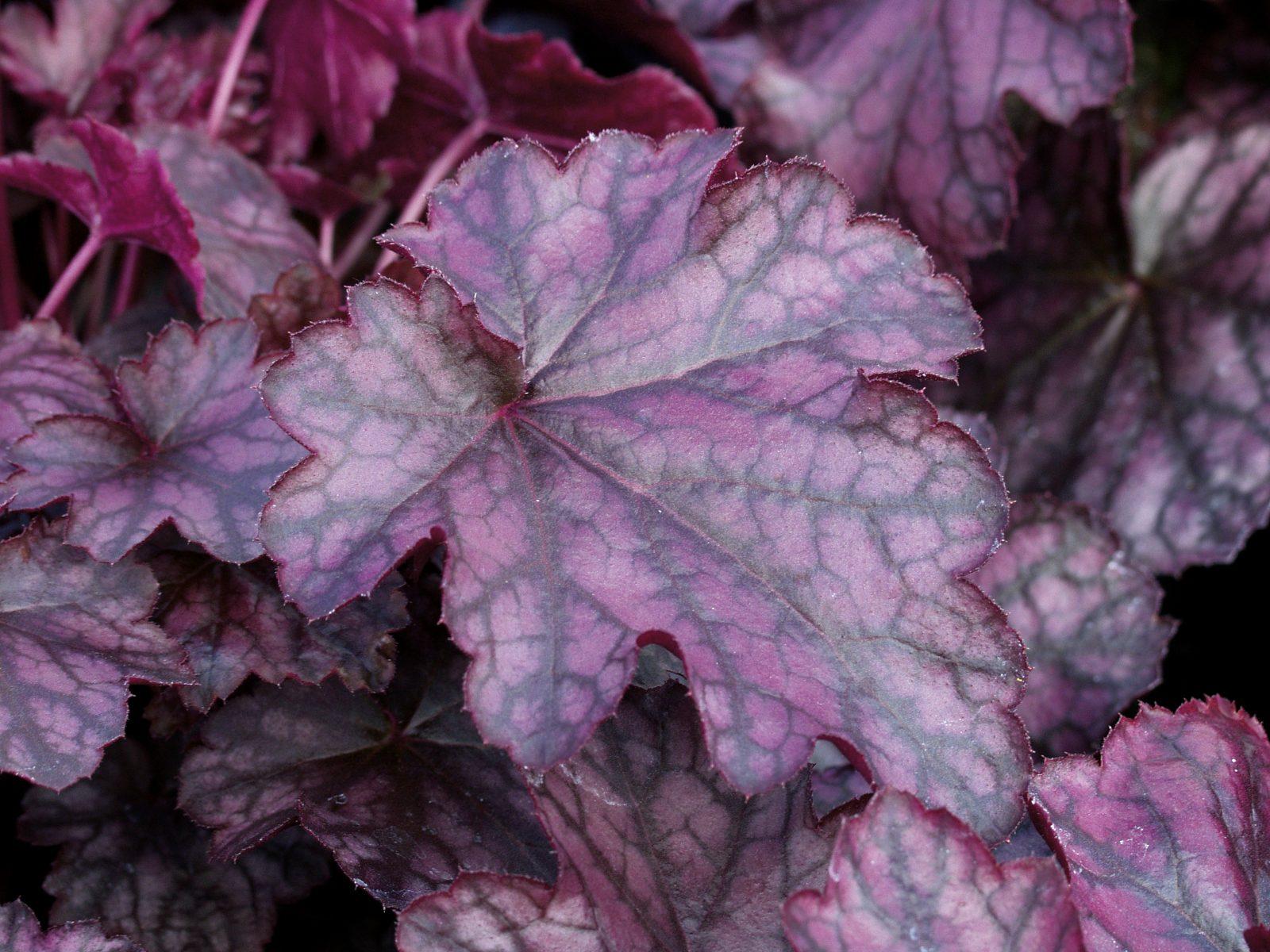 A heuchera hybrid from Proven Winners offers fall interest in the garden.