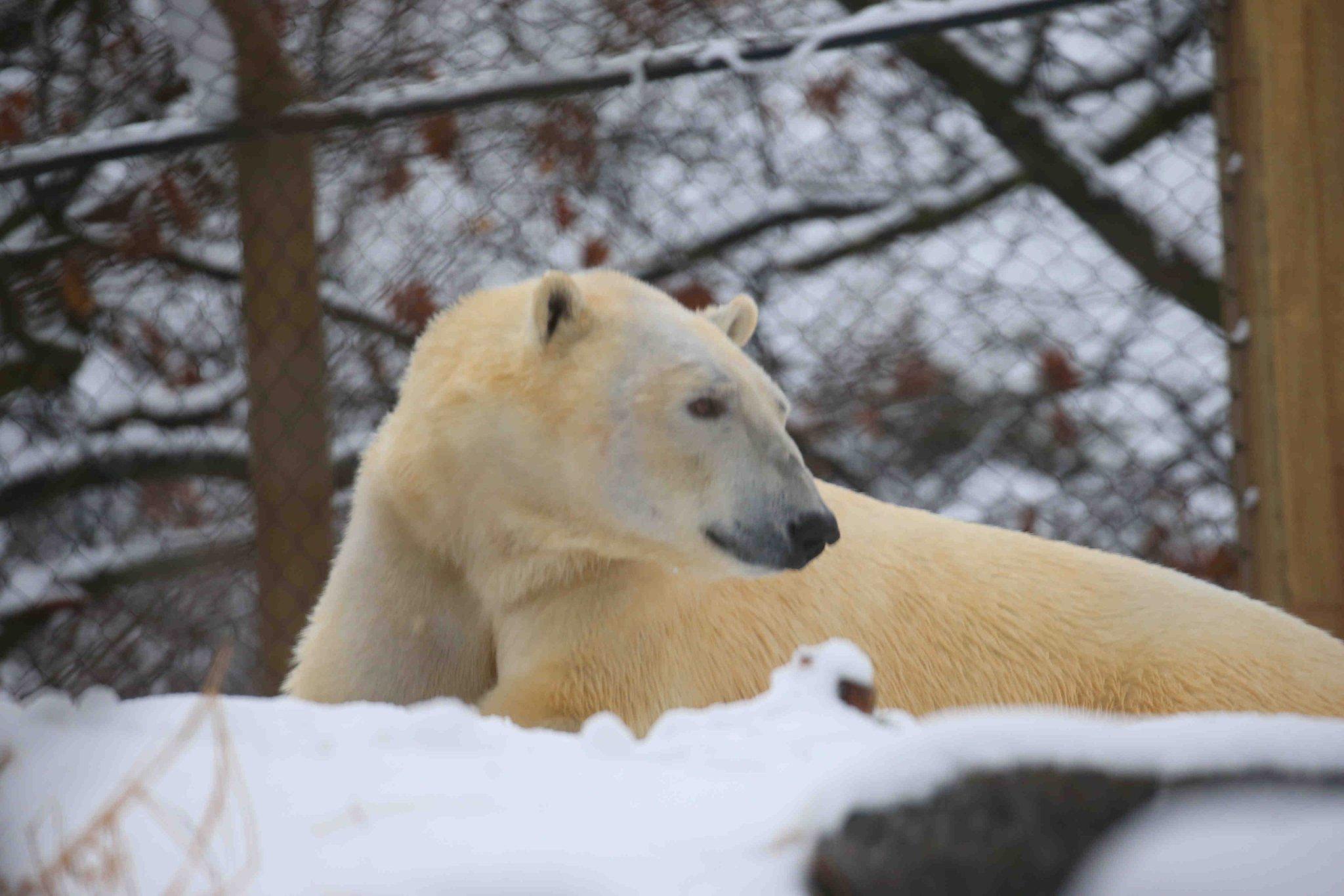 Sakari, the Buffalo Zoo's new polar bear, will be introduced to public on New Year's Day. (John Hickey/Buffalo News)