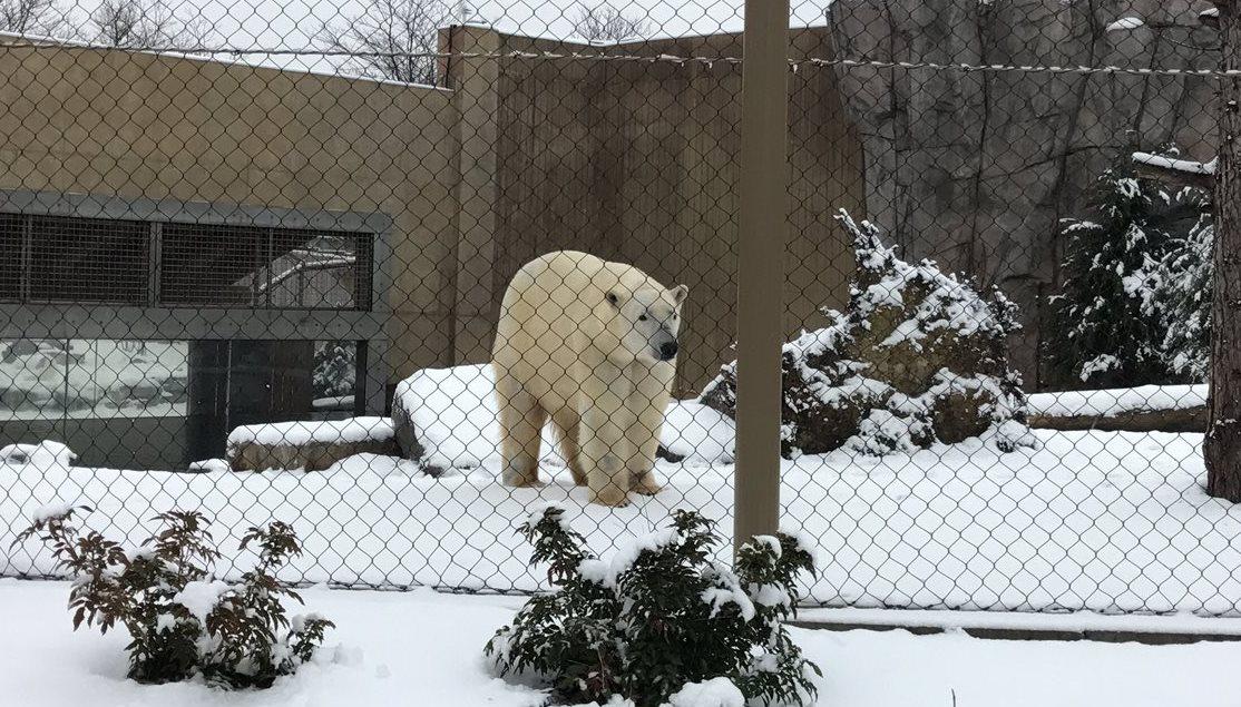 Sakari, one of the Buffalo Zoo's polar bears, is five years old. (Mark Sommer/Buffalo News)