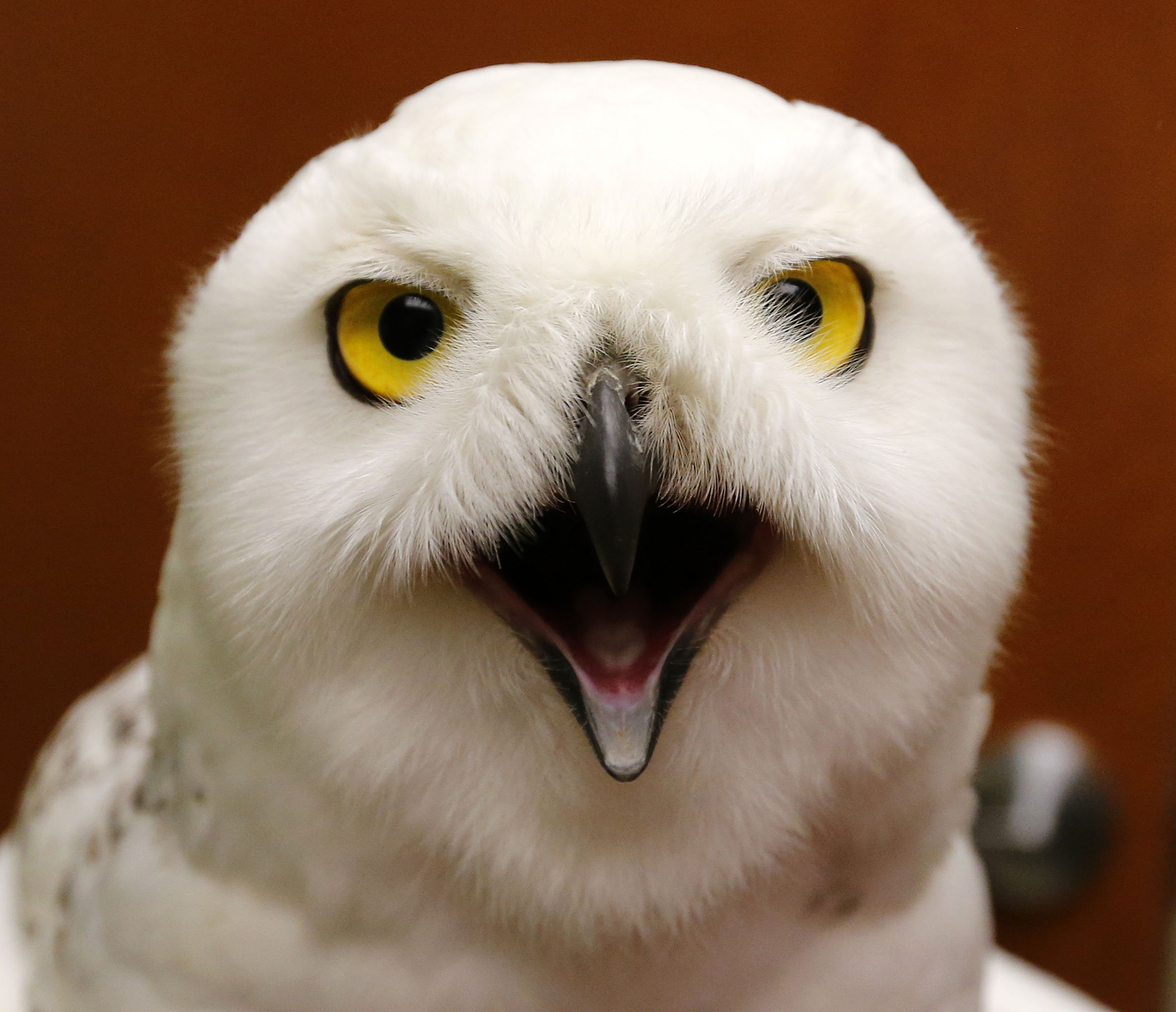 The snowy owl being nursed back to health by Marianne Hites, opens its mouth during a visit to Specialized Care for Avian and Exotic Pets in Clarence on Thursday, Jan. 5, 2017. (Mark Mulville/Buffalo News)