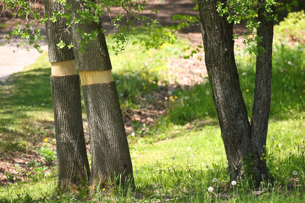 The emerald ash borer has taken a heavy toll on ash trees throughout Western New York. Above, trees are cut to try to stop the spread of the pest. (Mark Mulville/Buffalo News file photo)