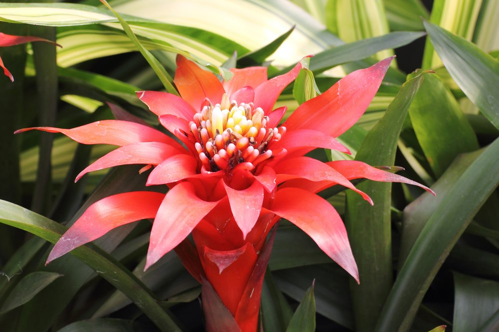 Bromeliad plants add color and texture to a room and bring a sense of the tropics into your home.