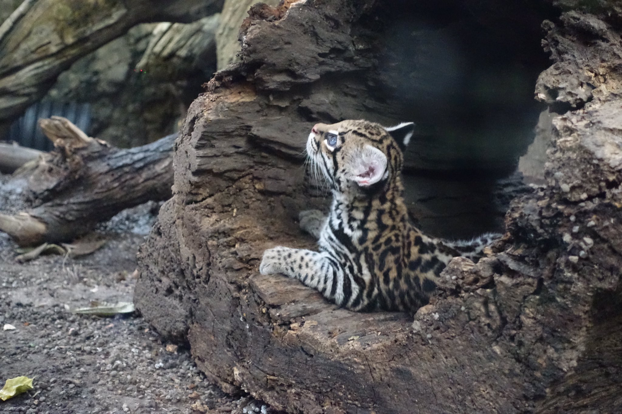 Nico, the 10-week-old ocelot kitten at the Buffalo Zoo. (John Hickey/Buffalo News)
