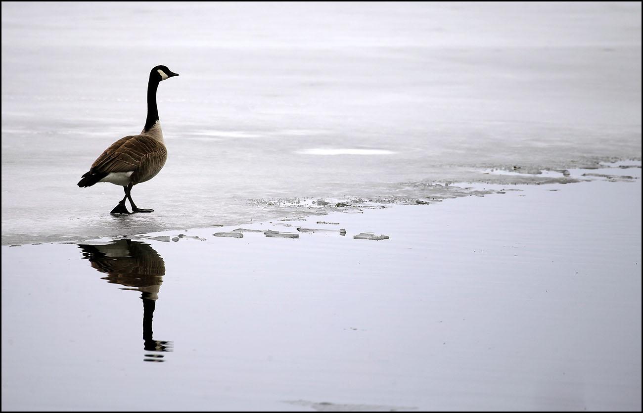 A canada goose walks on the ice on Cassadaga Lake. (Mark Mulville/Buffalo News)