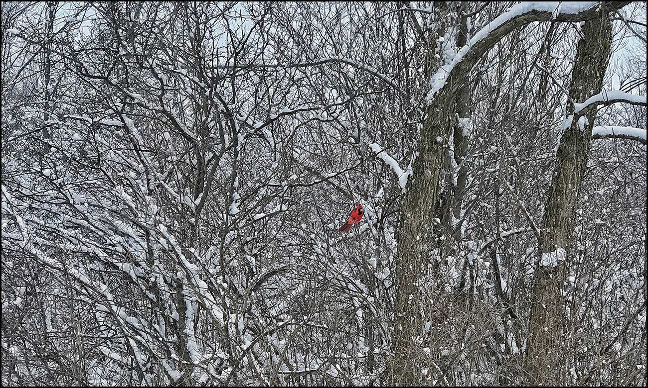 A splash of red: A bright red cardinal stands out in the snow-covered brush off Transit Road in Amherst. (Cathaleen Curtiss/Buffalo News)