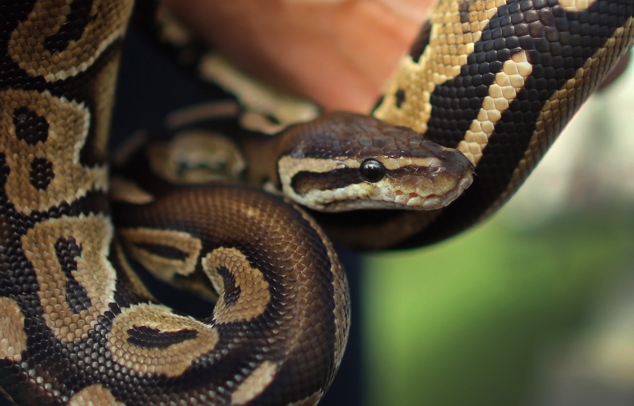 An example of a ball python. (Getty Images)