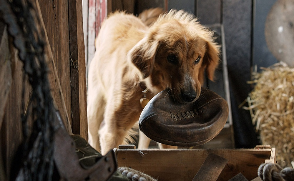 Golden retriever named Bailey is a star in 'A Dog's Purpose.'