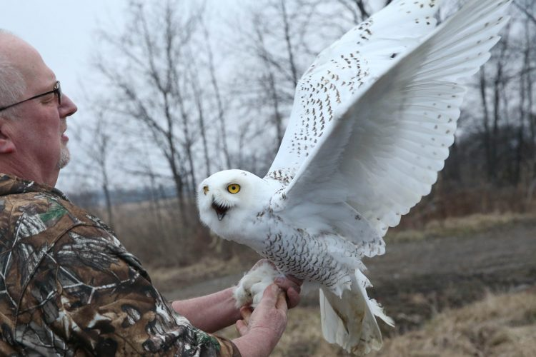 Injured snowy owl recovers – and returns to wild