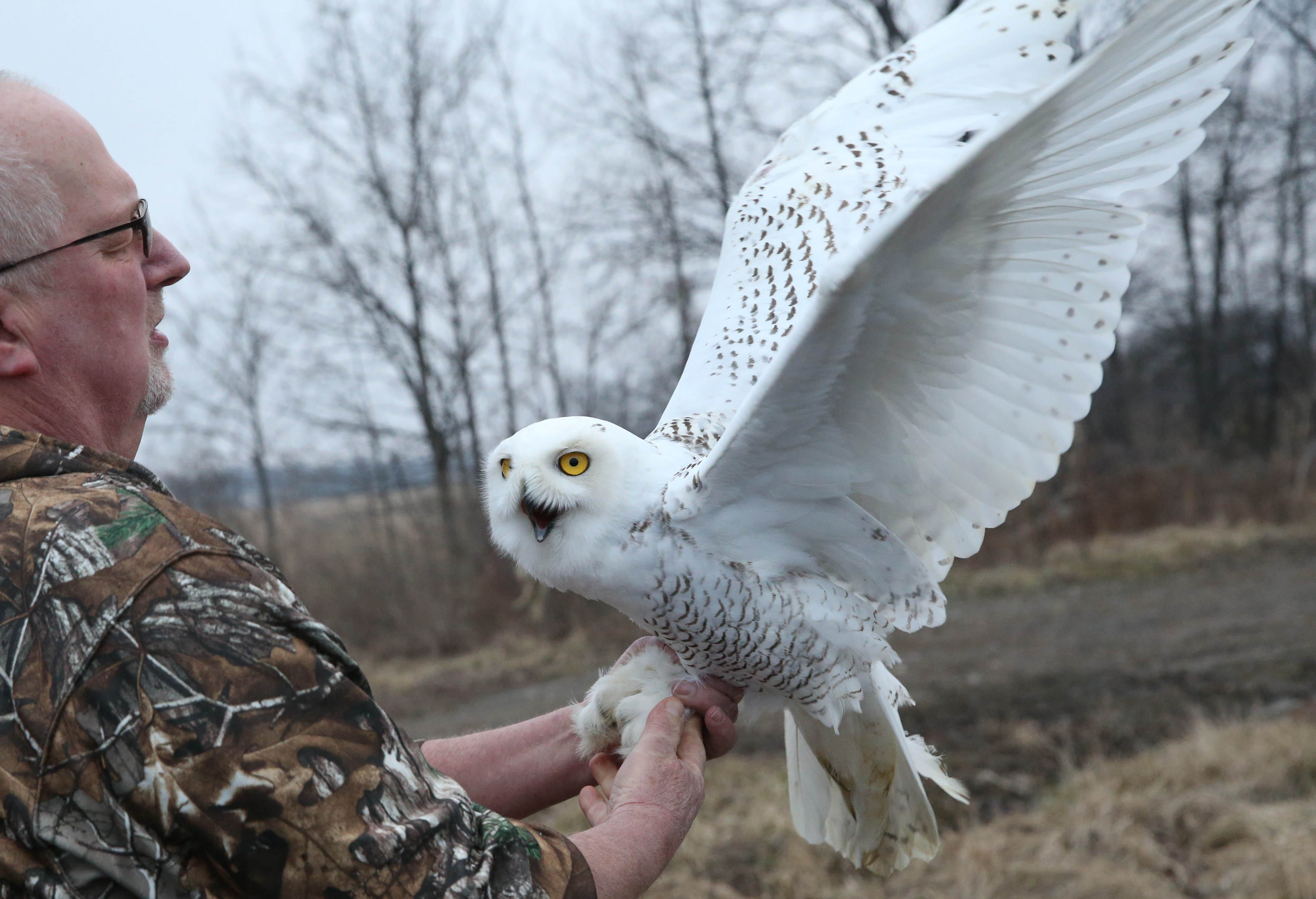 The snowy owl that was found with a broken wing and emaciated in December was released in the Town of Wilson by Marianne Hites of Messinger Woods Wildlife Care & Education Center, Wednesday, Feb. 22, 2017.  David Ganesky of Project SNOWstorm, which does snowy owl research and data collection, holds the owl until it's banded.  (Sharon Cantillon/Buffalo News)