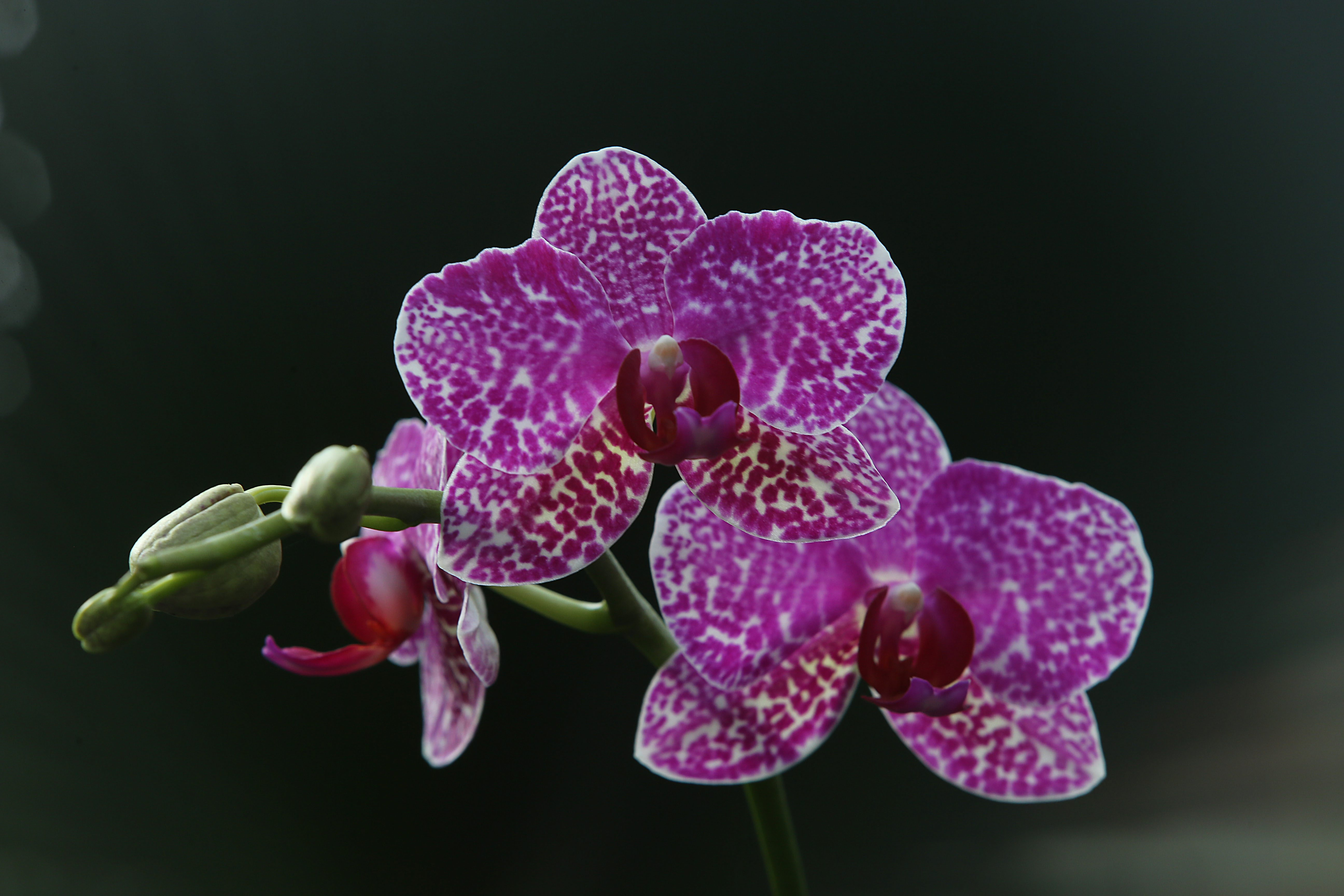The Winter Orchid Show, presented by the  Niagara Frontier Orchid Society and the Buffalo and Erie County Botanical Gardens, is scheduled to take place Feb. 25-26. (News file photo)