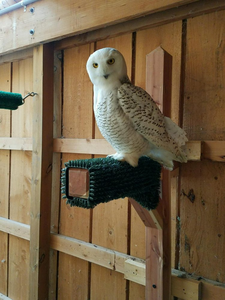This snowy owl recovered from broken bones in his wing. (Courtesy Marianne Hites)