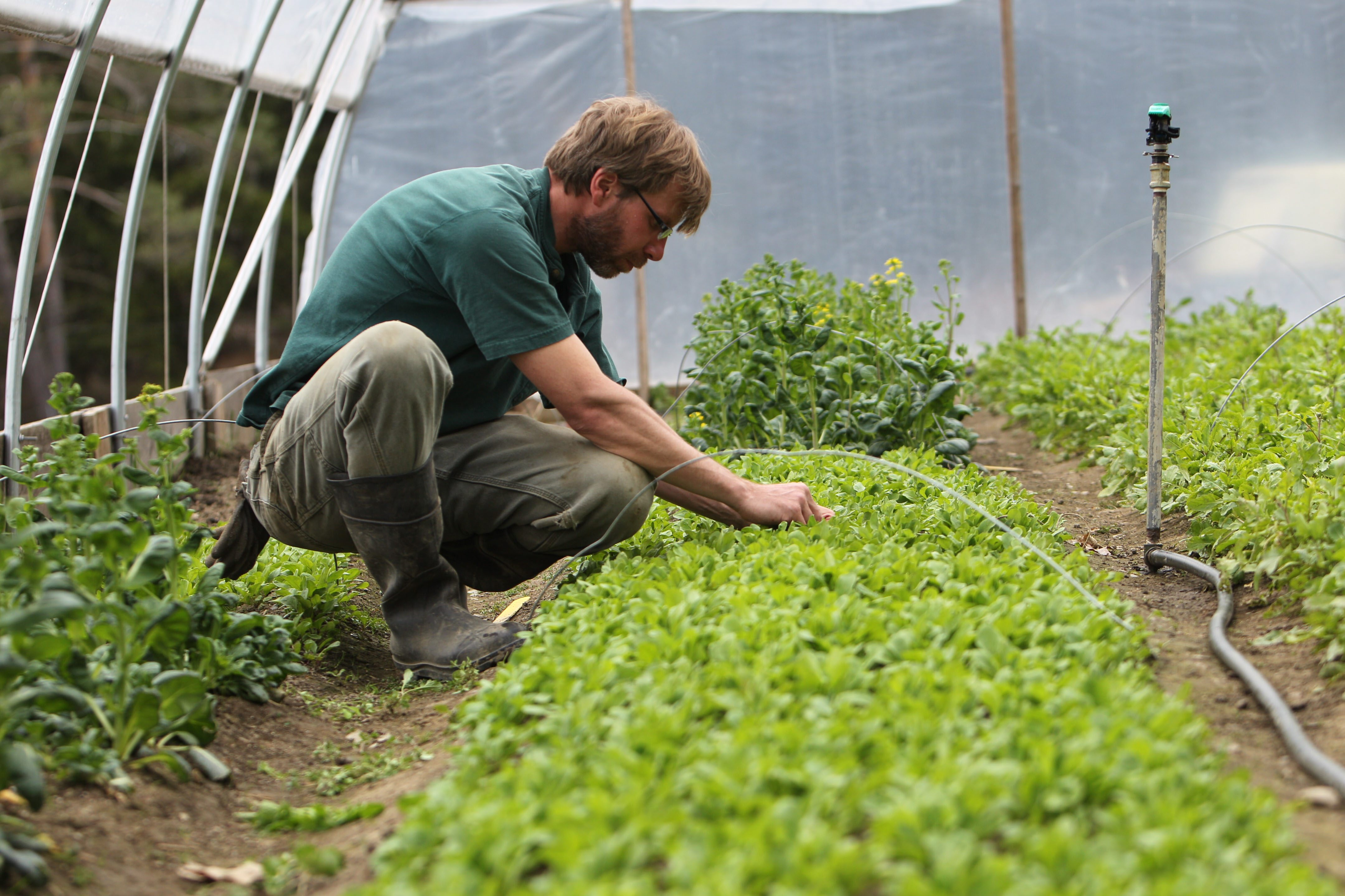 Daniel Roelofs, owner of Arden Farm in East Aurora tends to young arugula plants in one of his high tunnels. A high tunnel is not heated and the plants are in the ground rather than in pots. (Sharon Cantillon/Buffalo News)