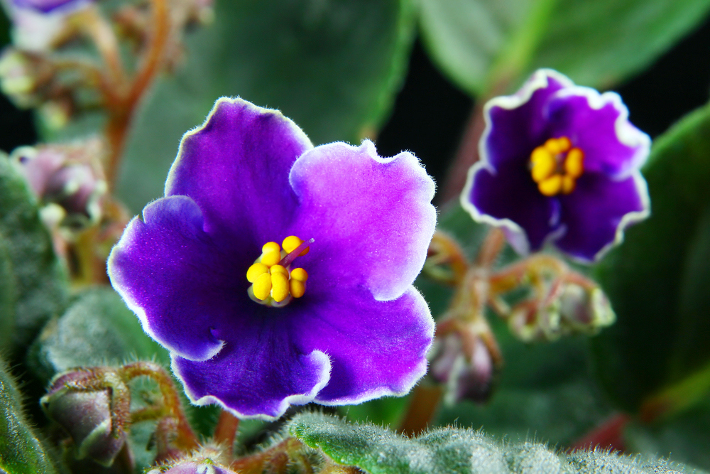 The African Violet & Gesneriad Society of WNY is scheduled to meet Tuesday.