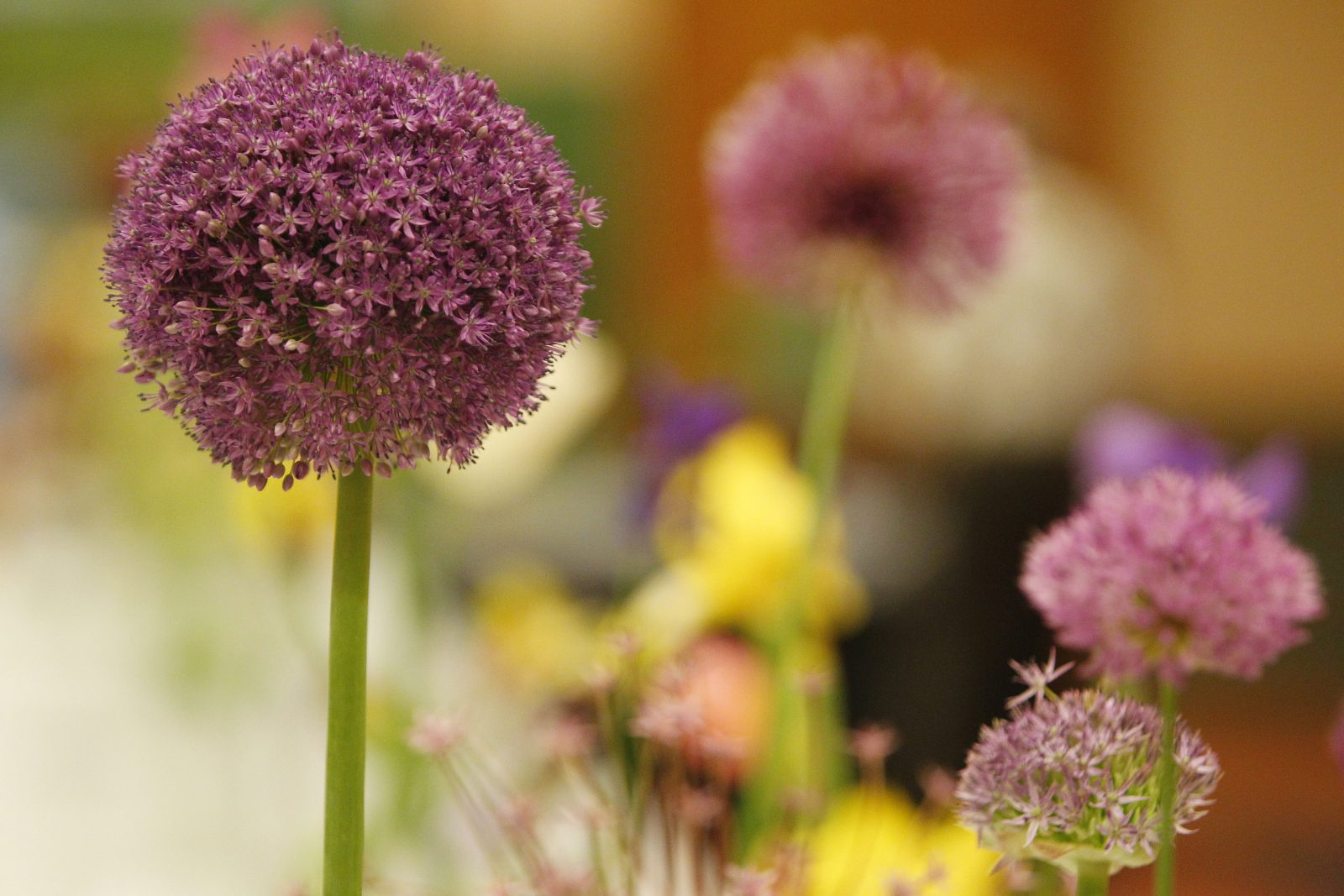Allium 'Ambassador' (Mark Mulville/Buffalo News file photo)