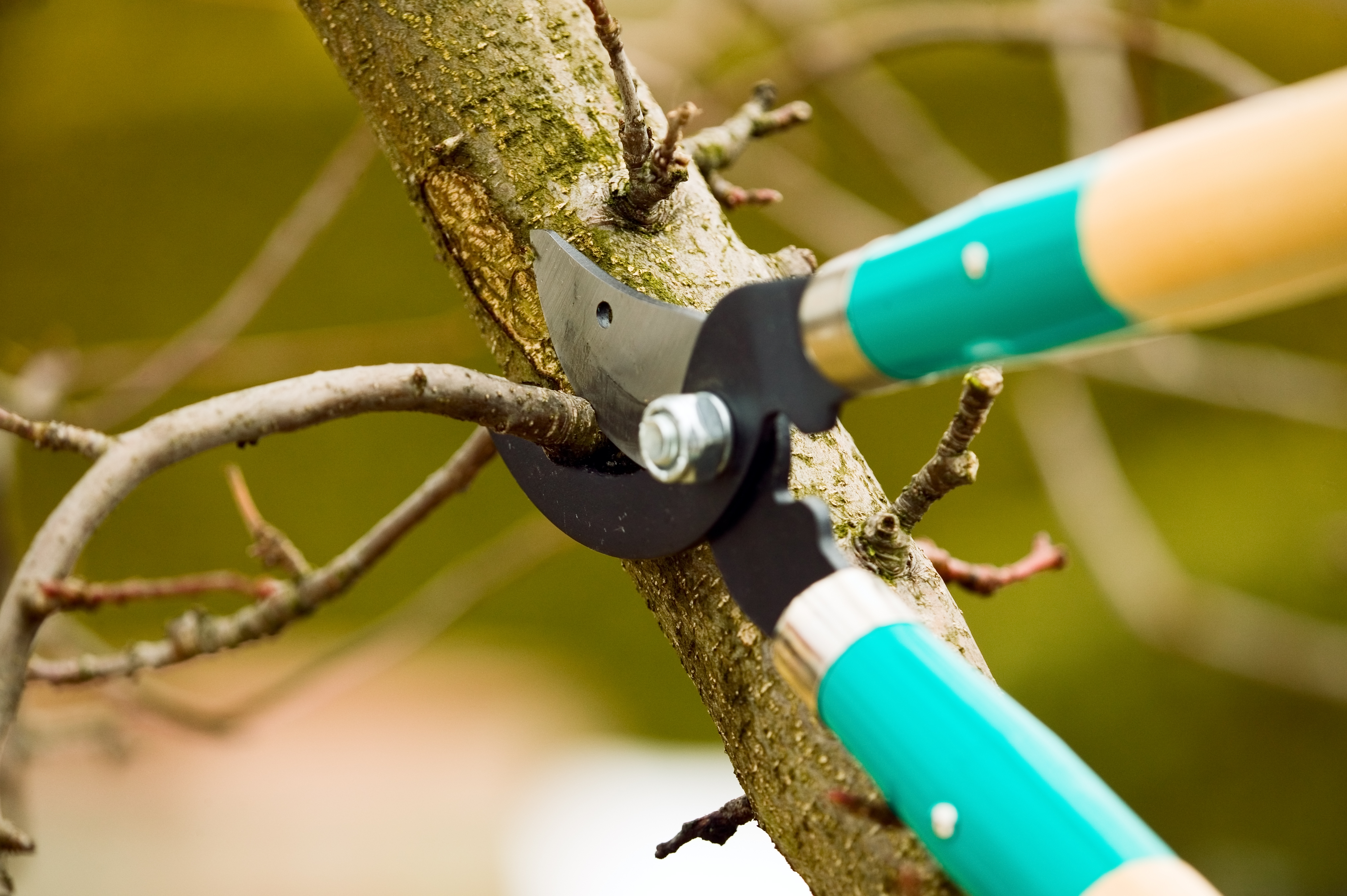 Most shrub and tree pruning is best done in late winter – that is, now.
