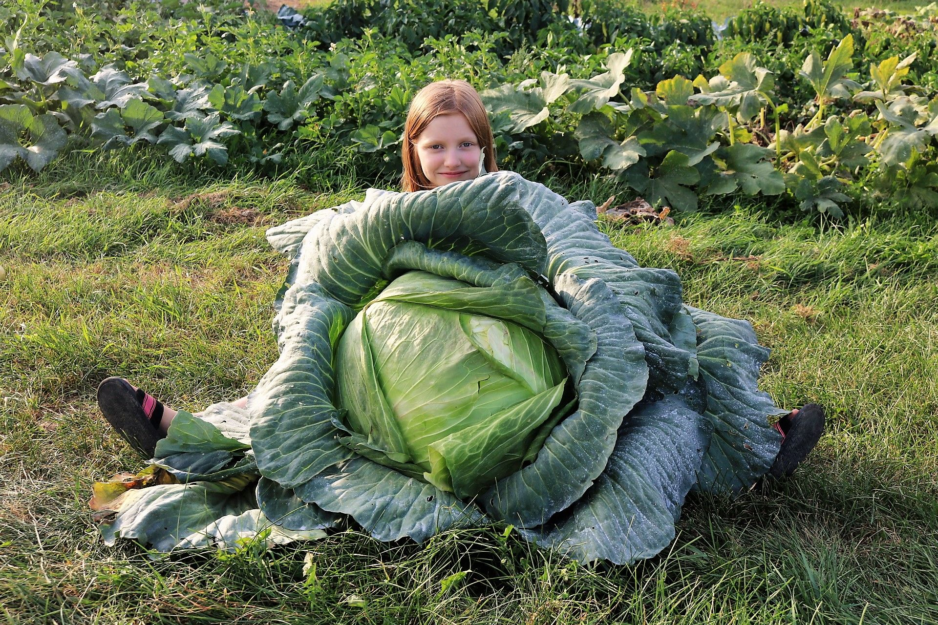 Kara Hassenfratz, of St. Mary's Elementary School in Lancaster, grew this 38-pound cabbage. She was named the New York State winner of the National Bonnie Plants Cabbage Program contest by the state Department of Agriculture and awarded a $1,000 savings bond for college by Bonnie Plants. More than 1.5 million third-graders in 48 states try to grow colossal cabbages as part of the annual Bonnie Plants contest. (Photo provided by Bonnie Plants)