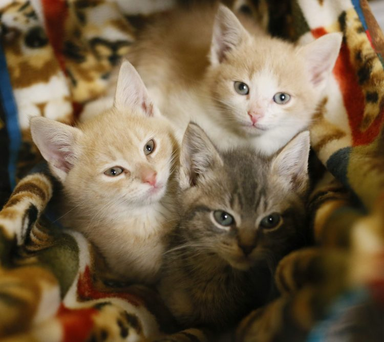 Funds raised during Furball will help Ten Lives Club deal with influx of kittens. (Derek Gee/Buffalo News)