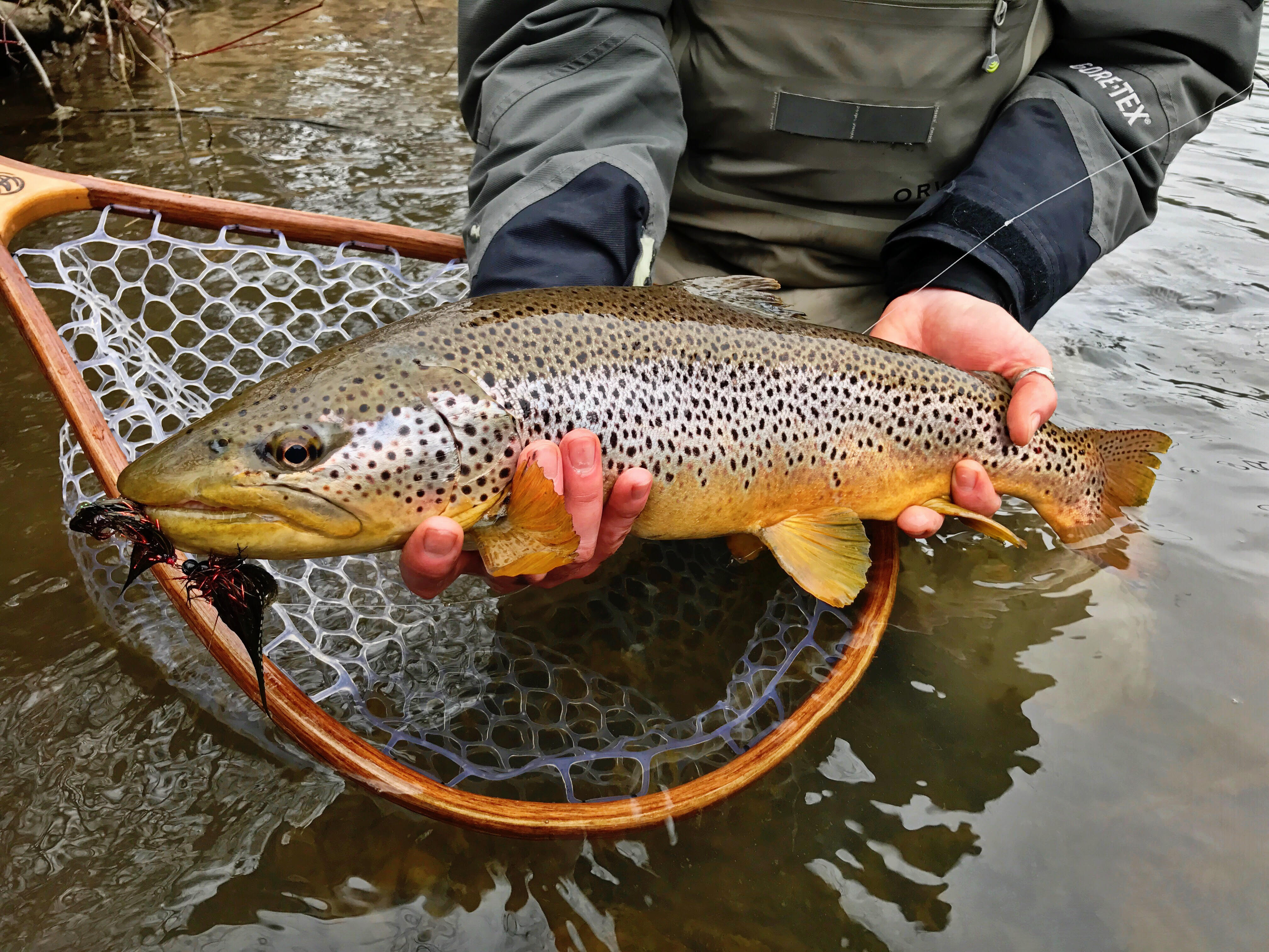 Nick Sagnibene of Ellicottville shows off a brown trout that will be a target on April 1.