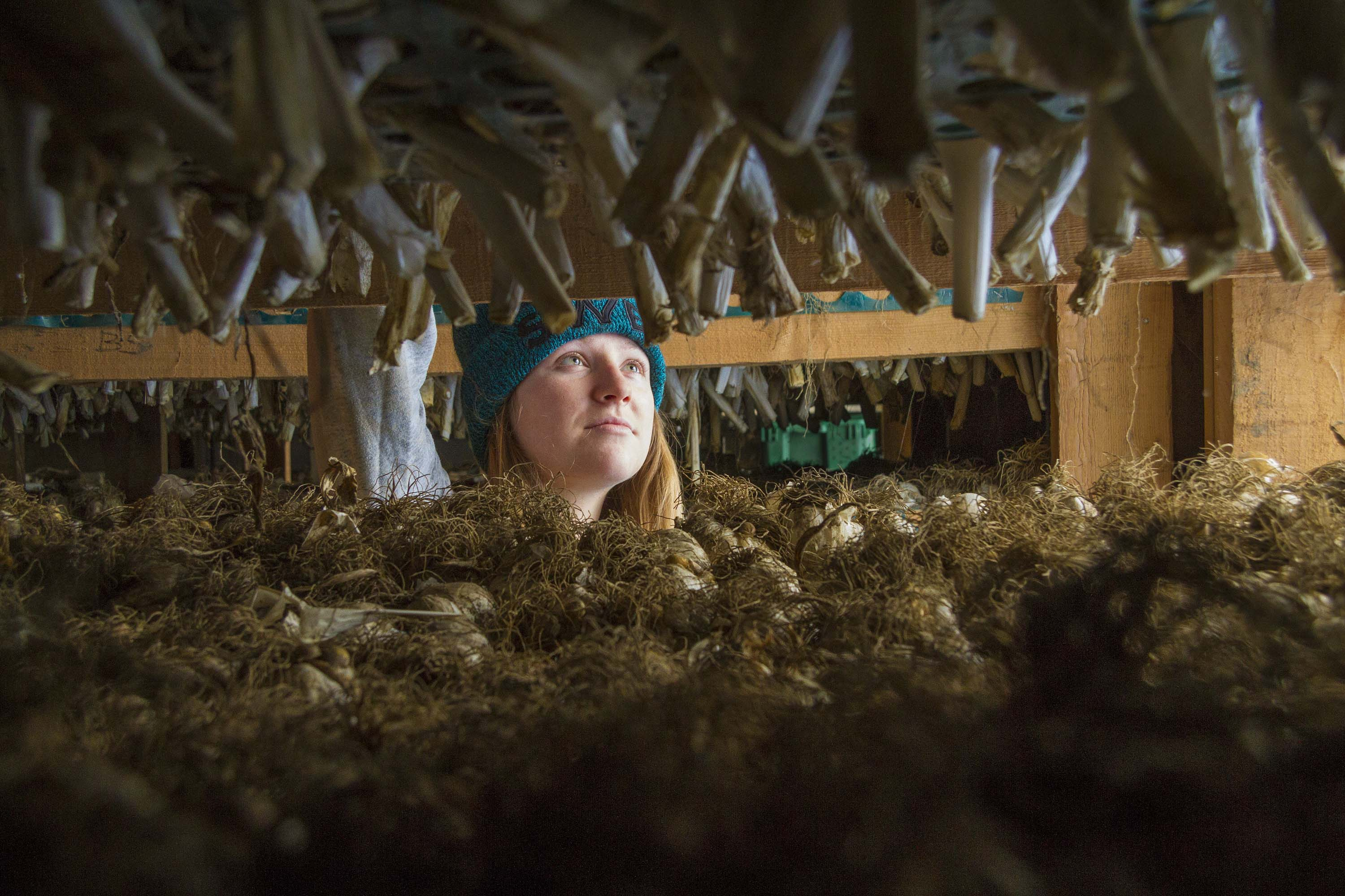 Featured in the March issue of Edible Western NY are Alan and Kathleen Ramm who have grown garlic on their 50-acre farm in Sherman since 1999. Pictured is Rebecca Ramm, granddaughter of Alan and Kathleen,  who helps on the farm. (Photo by Ed Bernik, courtesy of Edible Western NY.)