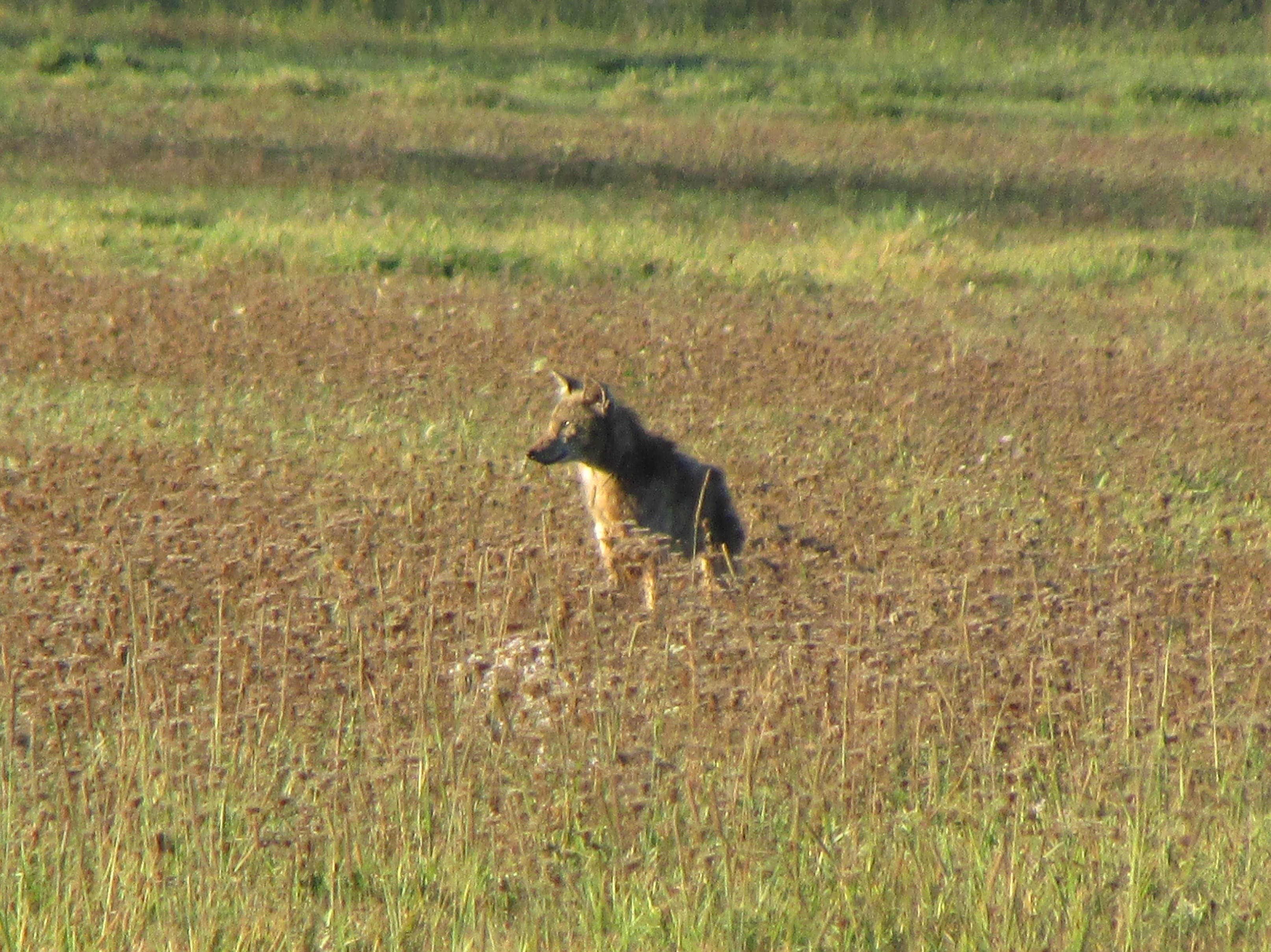 Grand Island has spent months discussing how to handle coyotes on the island. (David Reilly)