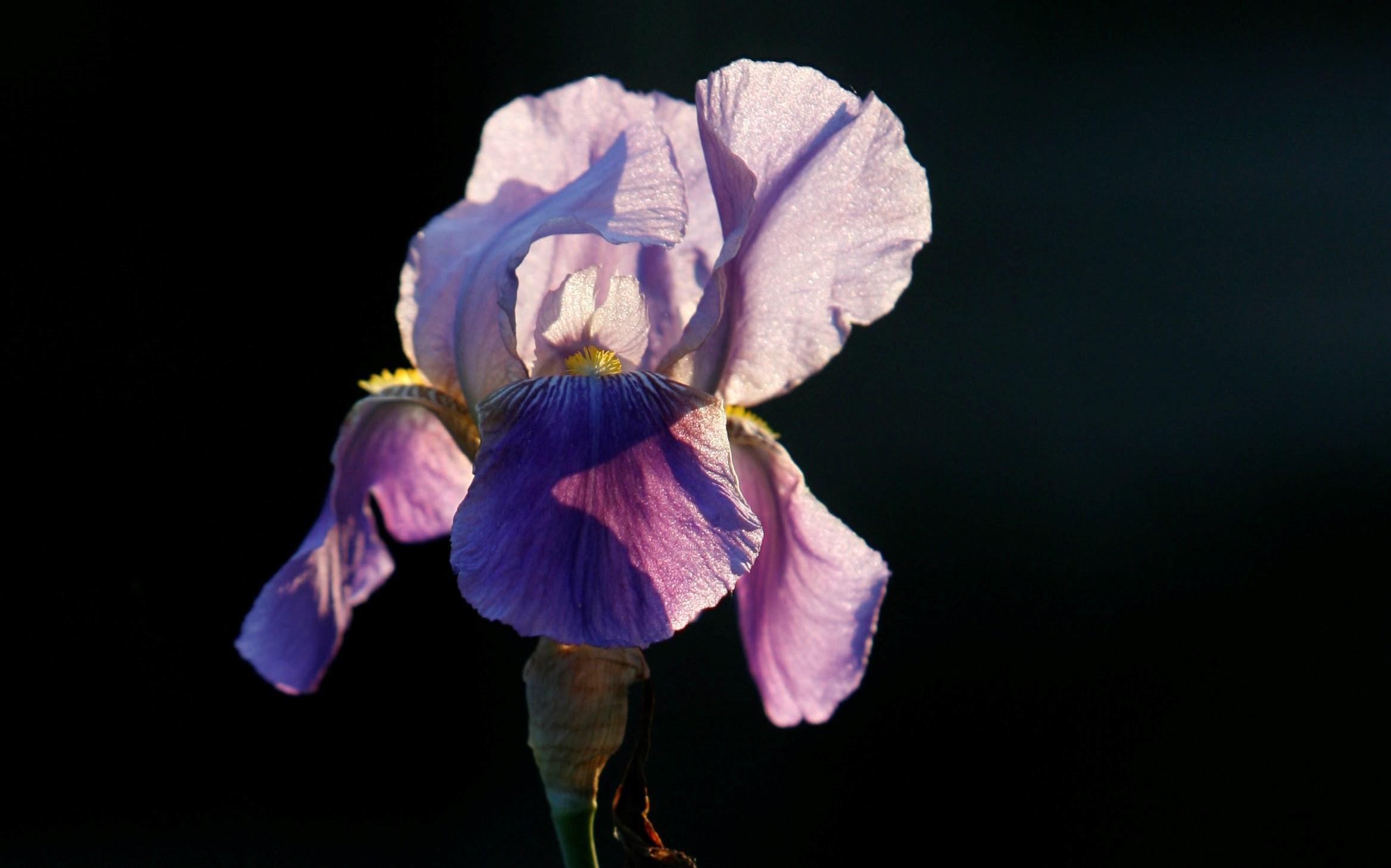Western New York Iris Society will host a presentation on garden photography Sunday. (News file photo/Sharon Cantillon)