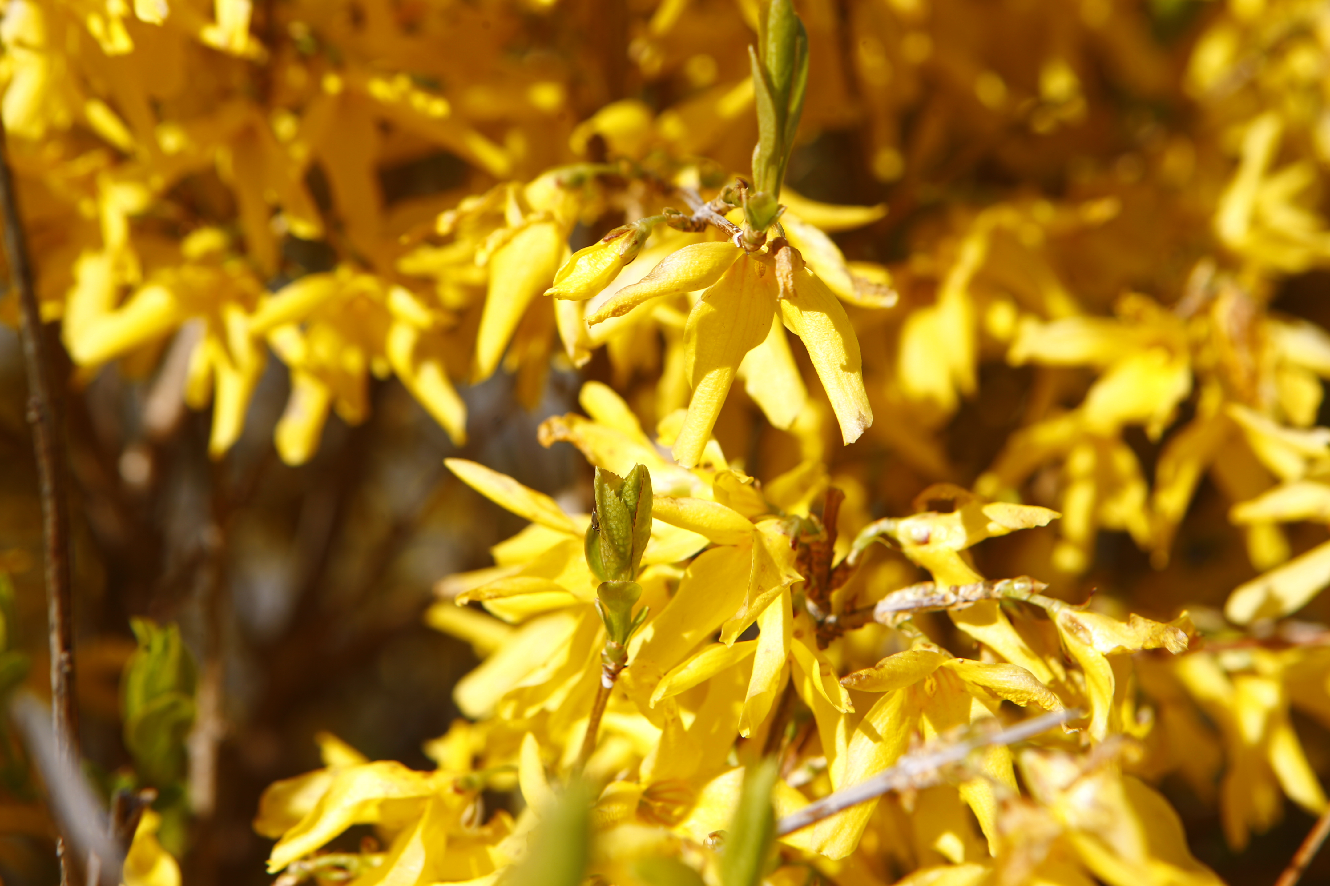 Forsythia and other early bloomers are signs that spring is here, and people are anxious to get outside.  While some yard and garden tasks can be done now, you need to hold off on others.  ( John Hickey / Buffalo News file photo)