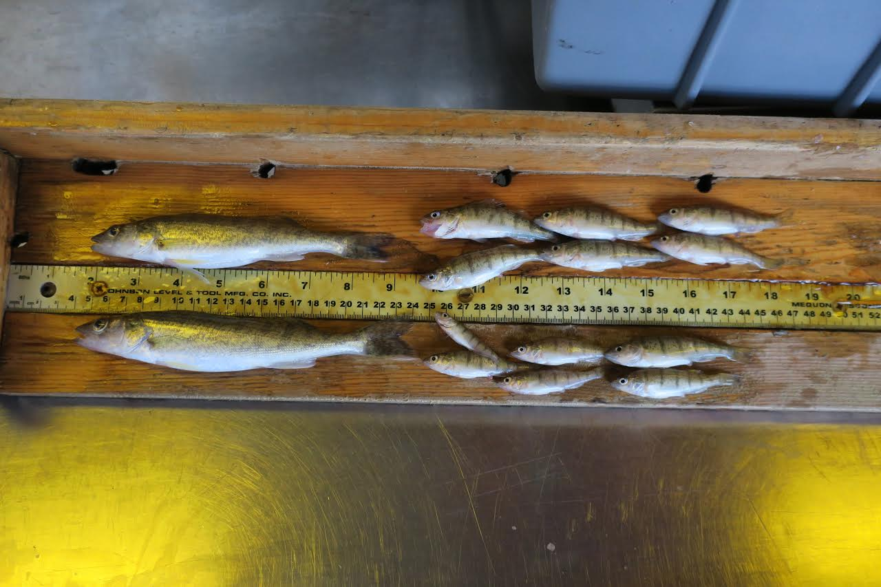 Age '0' walleye and perch paint a positive picture for the Lake Erie fishery.