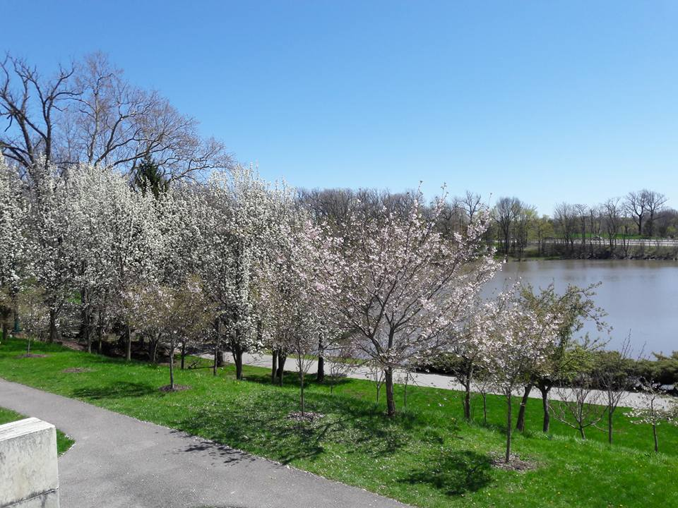Buffalo Cherry Blossom Festival starts May 1