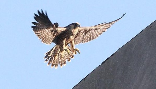 Falcon chicks and their parents hanging out in their nest and flying around on the 10th floor at Buffalo's Central Terminal a few years ago. (James P. McCoy/News file photo)